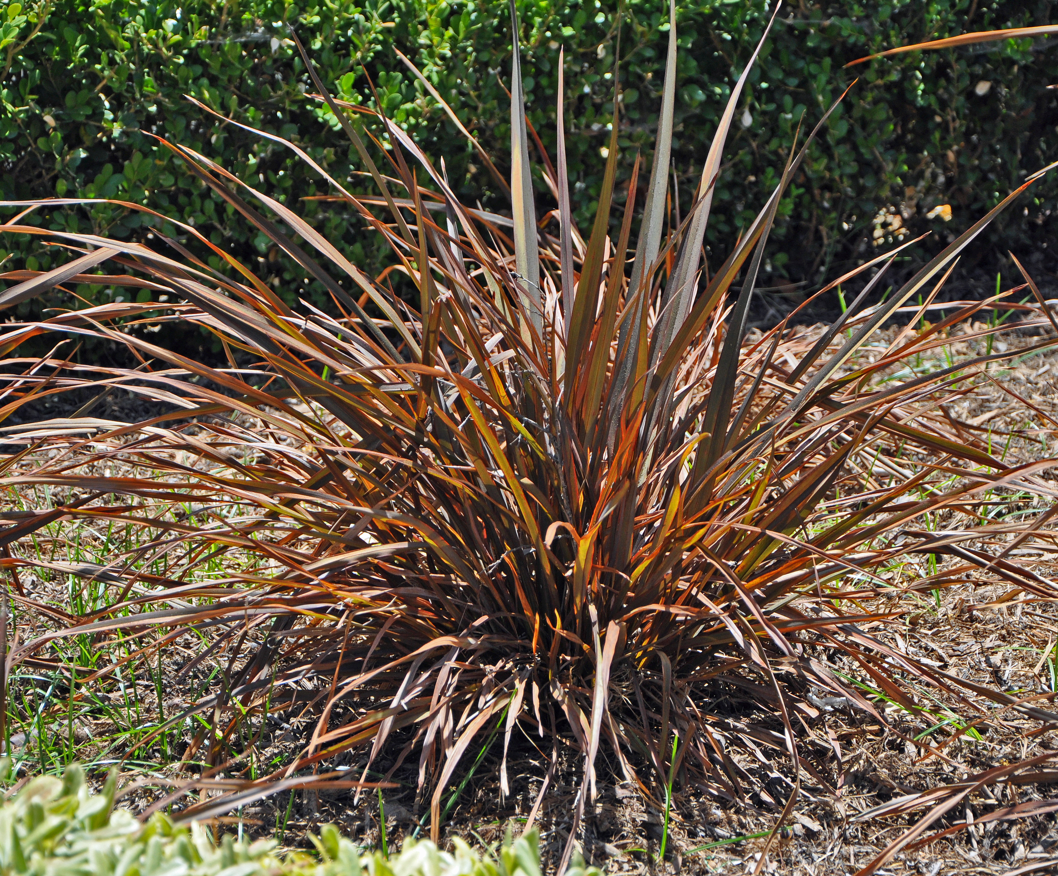 Picture of Live Jack Spratt New Zealand Flax aka Phormium Jack Spratt Shrubs Plant Fit 1 Gallon Pot
