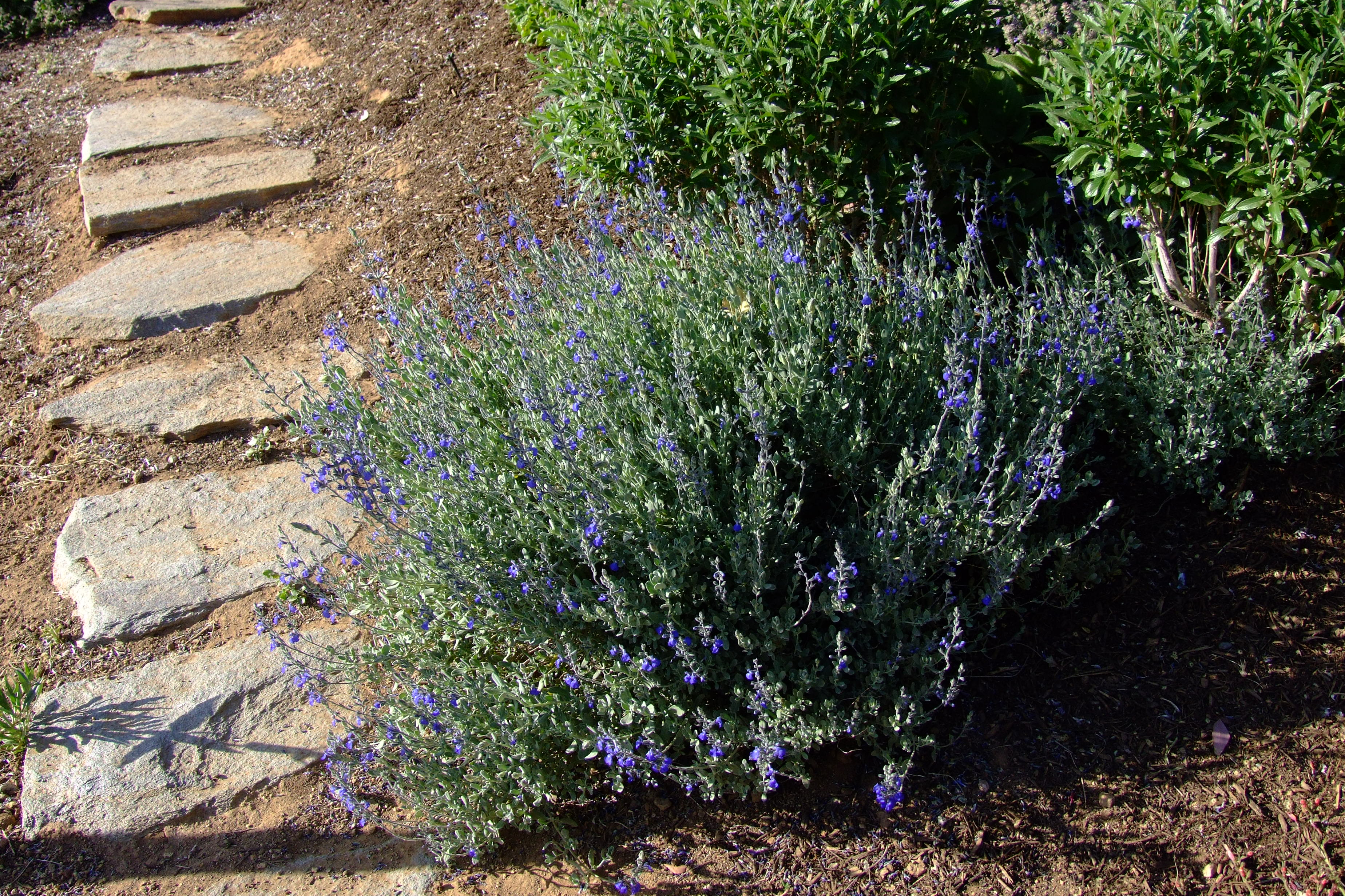 Picture of Live Germander Sage (blue) aka Salvia chamaedryoides Plant Fit 1 Gallon Pot