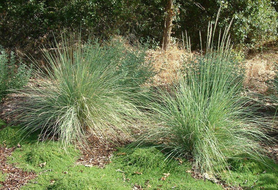 Picture of Live Lindheimer's Muhly aka Muhlenbergia lindheimer Plant Fit 1 Gallon Pot