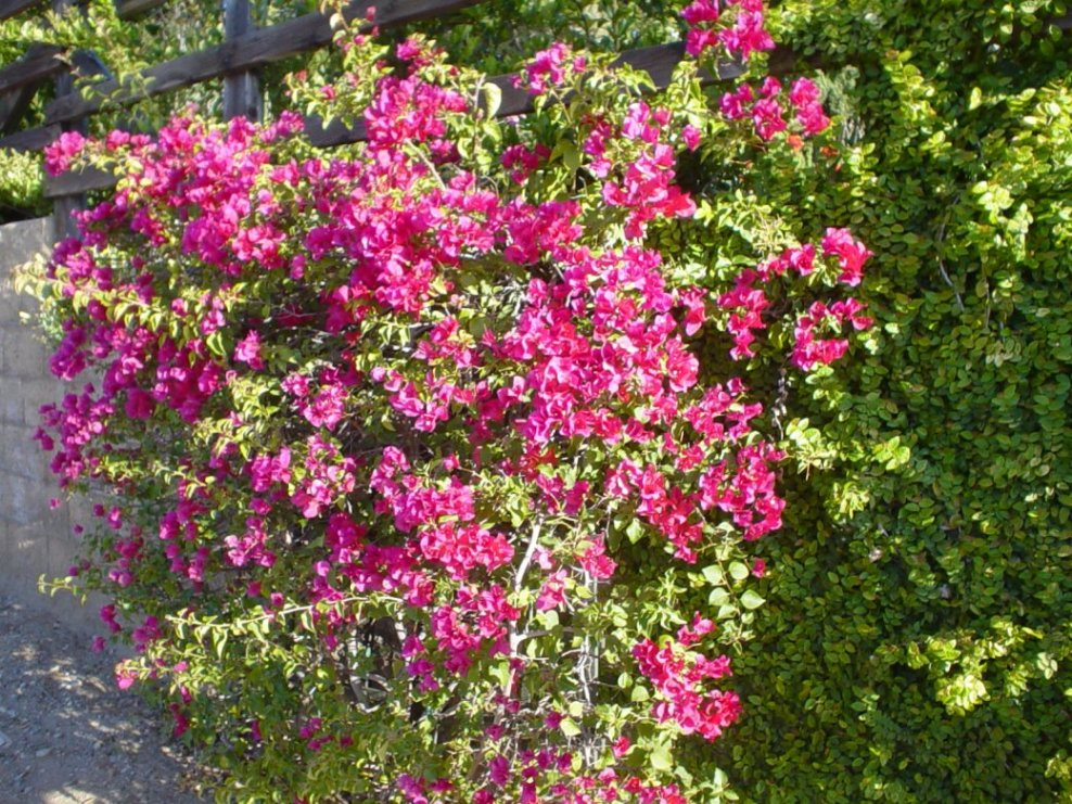 Garden Bush: Bougainvillea Cvs