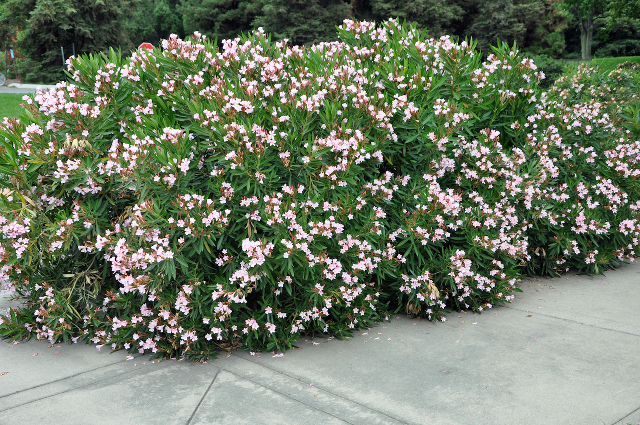 Garden Bush: Nerium Oleander 'Petite Pink