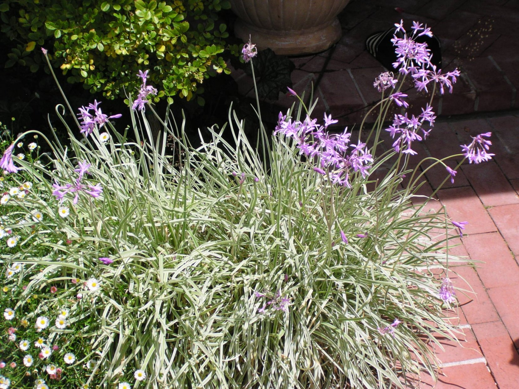 Picture of Live Variegated Society Garlic aka Tulbaghia v. 'Silver Lace' Perennial Plant Fit 1 Gallon Pot