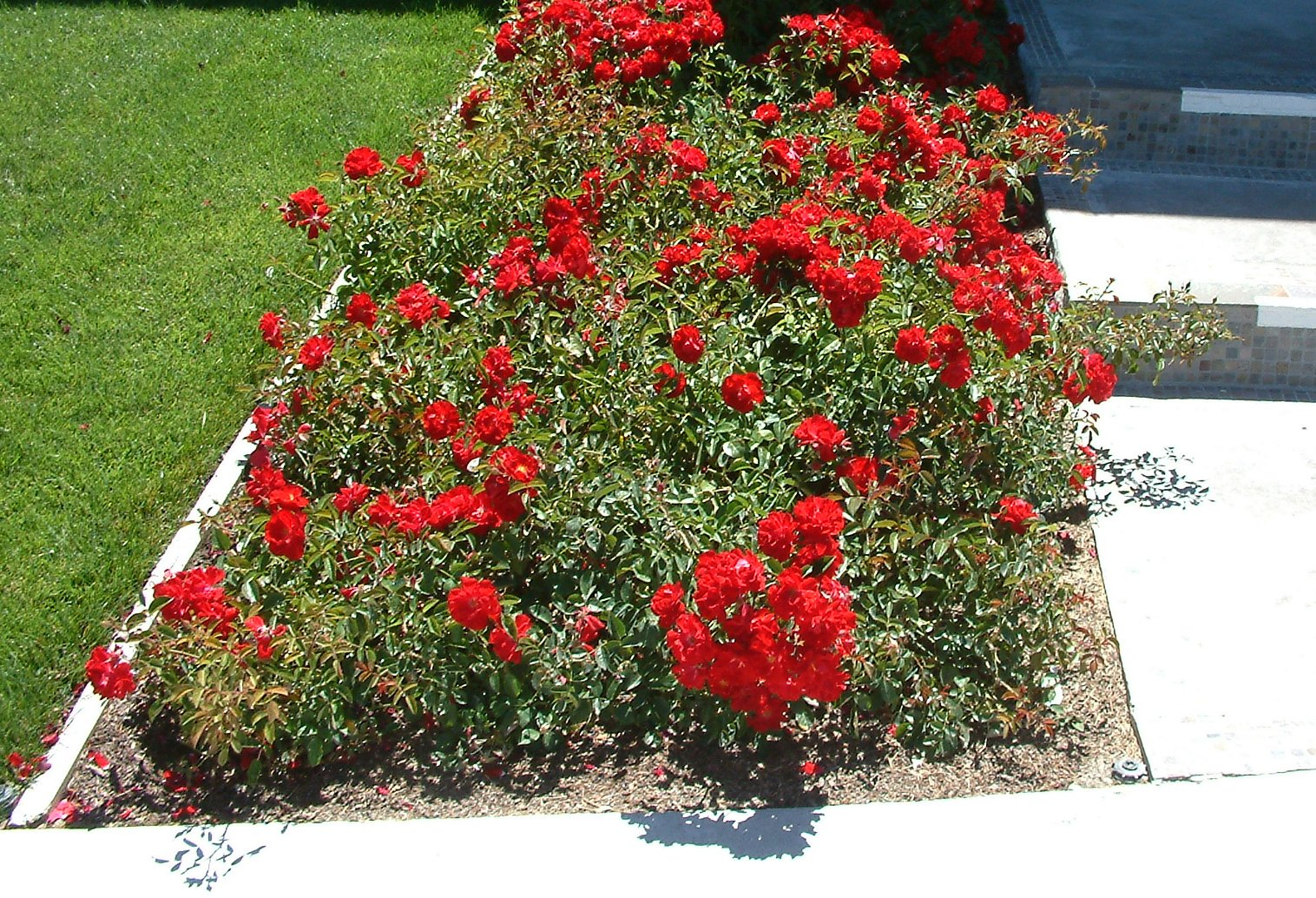 Rosa Flower Carpet Red