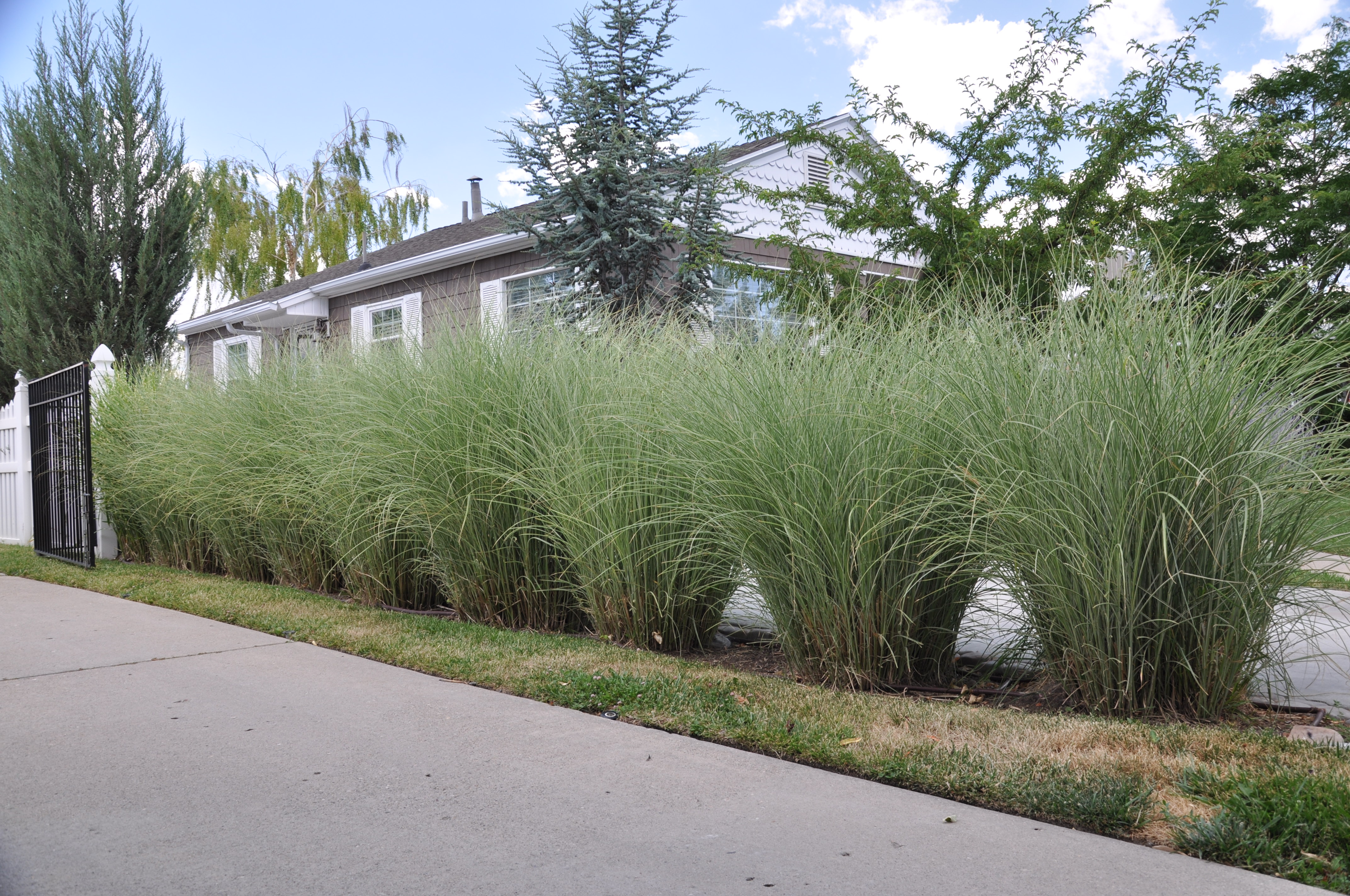 Miscanthus Sinensis Morning Light