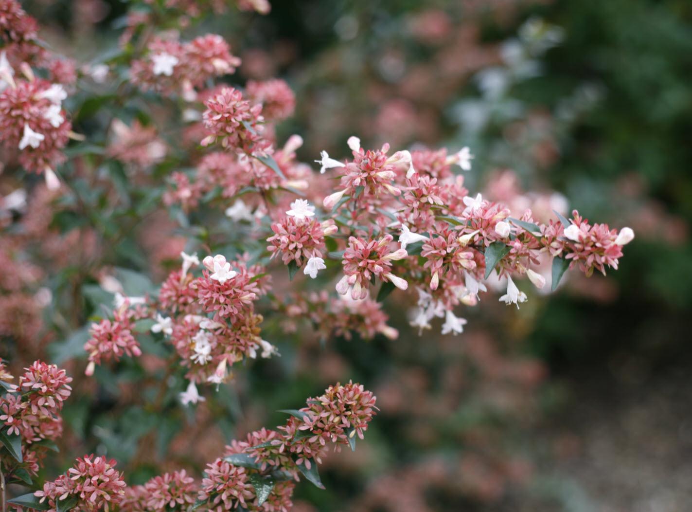 Abelia Chinensis Ruby Anniversary