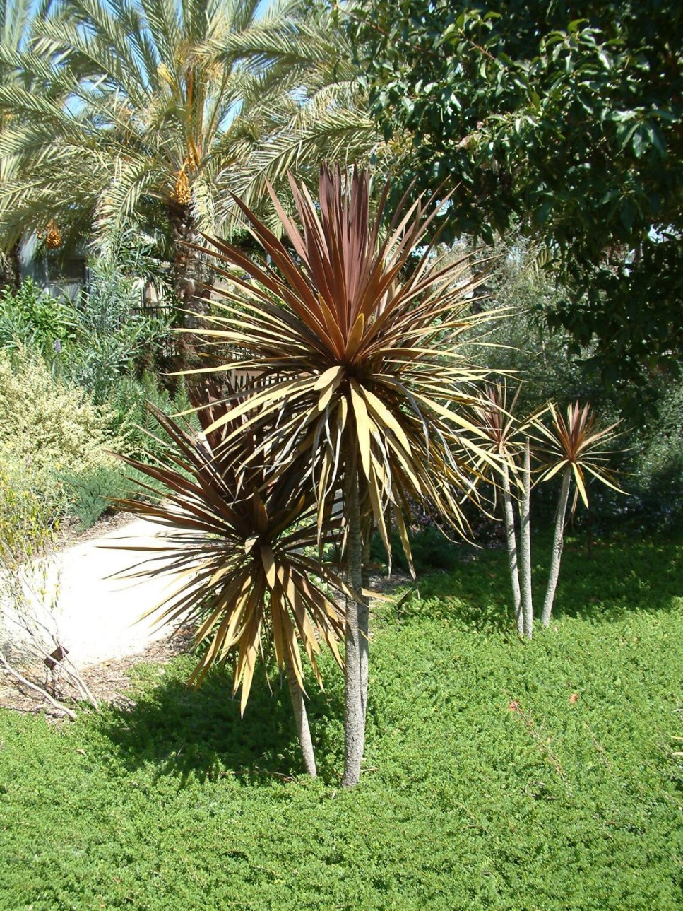 Average Interest Rate >> Cordyline 'Red Star'