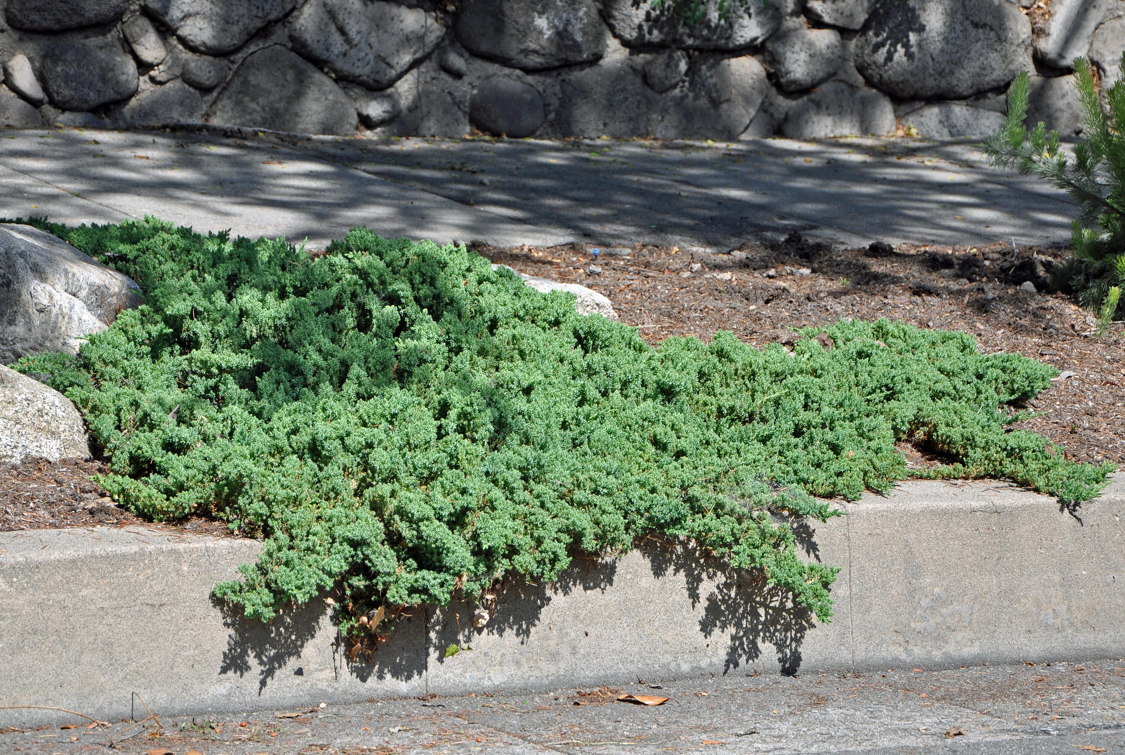 Picture of Live Japanese Garden Juniper aka Juniperus procumbens 'Nana' Plant Fit 5 Gallon Pot