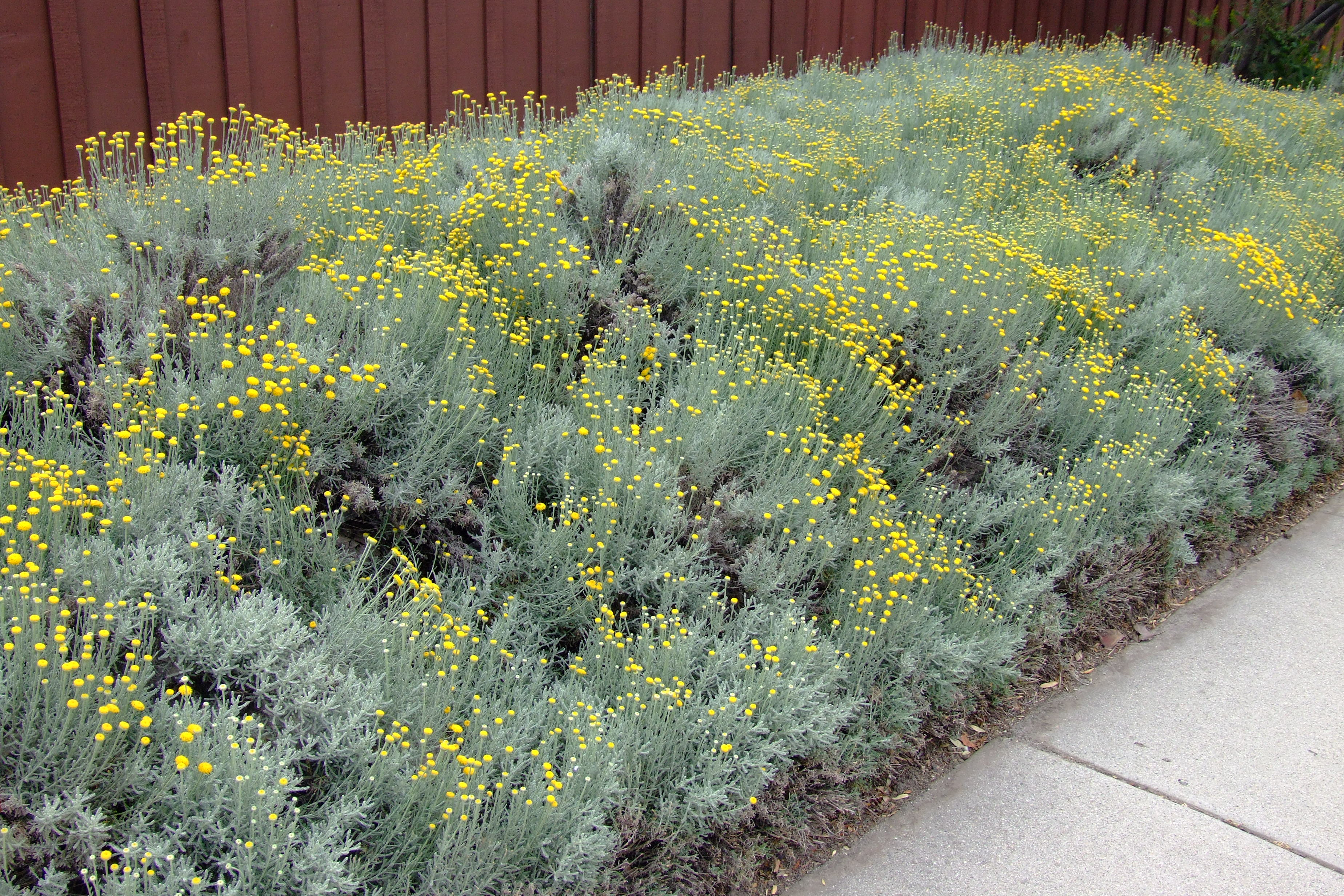 Garden Bush: Santolina Chamaecyparissus