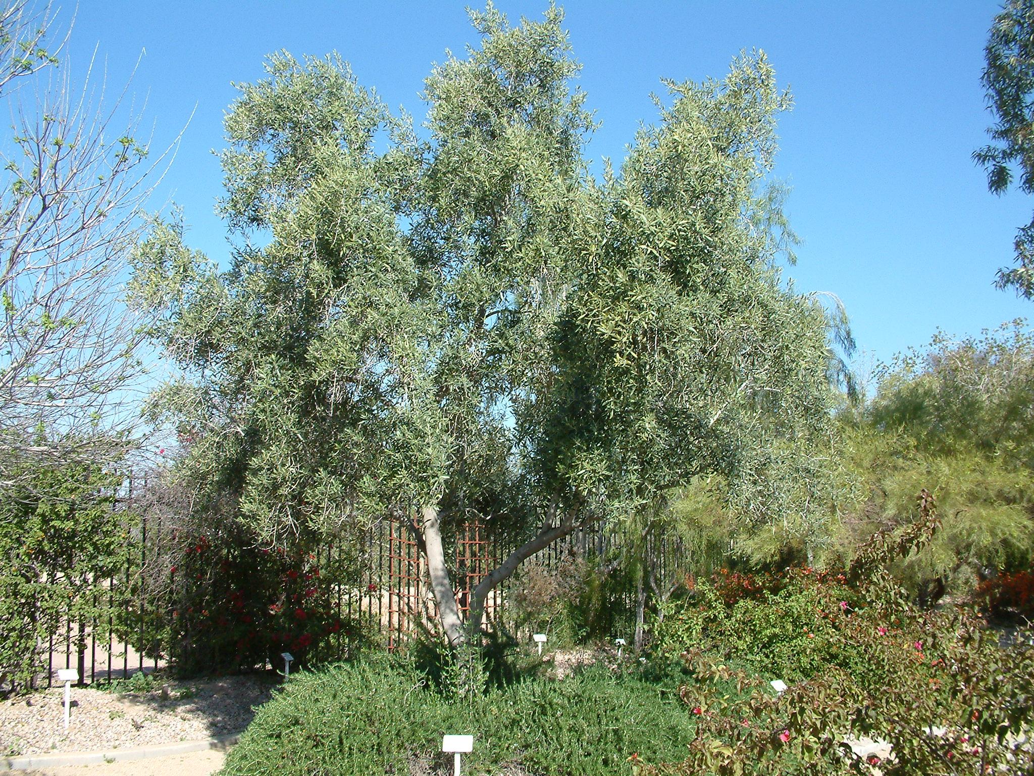 Olea Europaea Swan Hill
