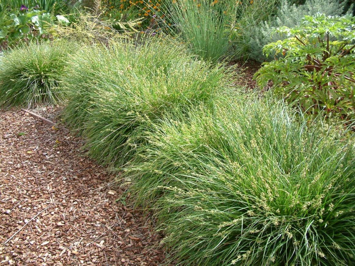 Garden Bush: Carex Divulsa