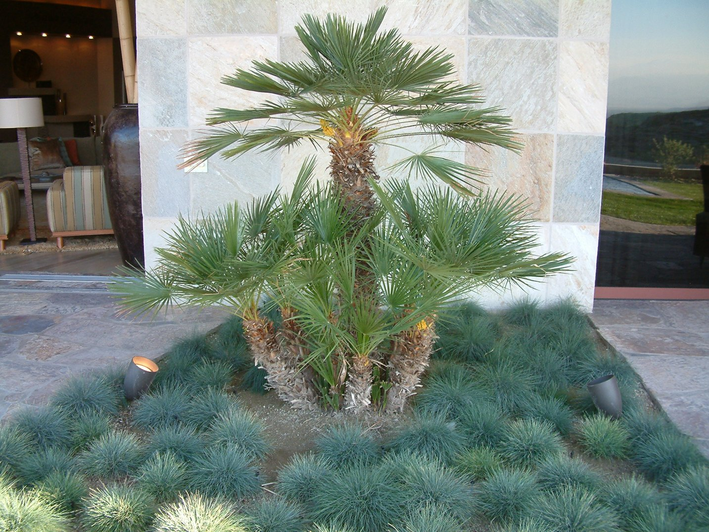 Garden Water Features >> Chamaerops humilis