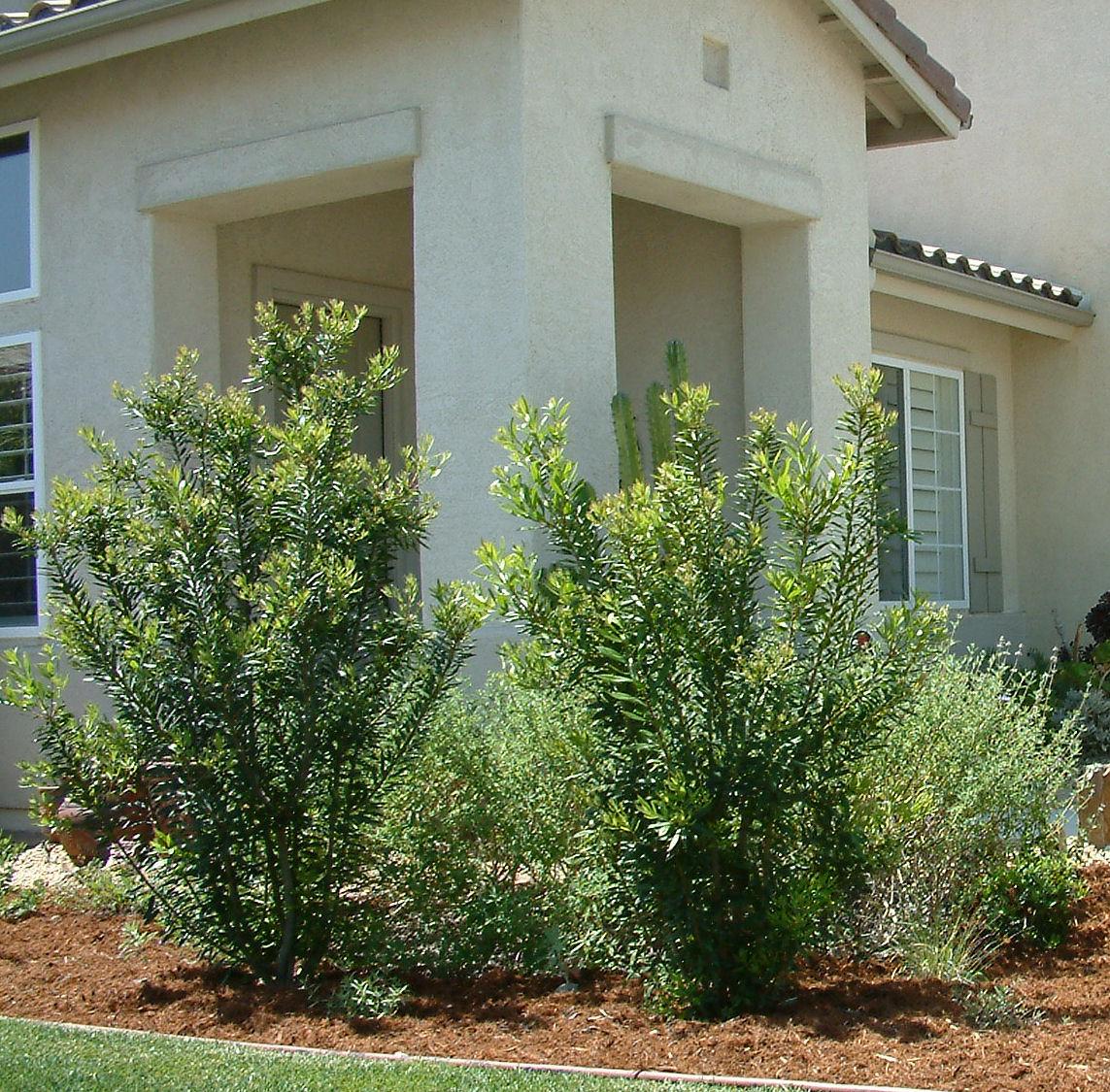 Garden Bush: Myrica Californica