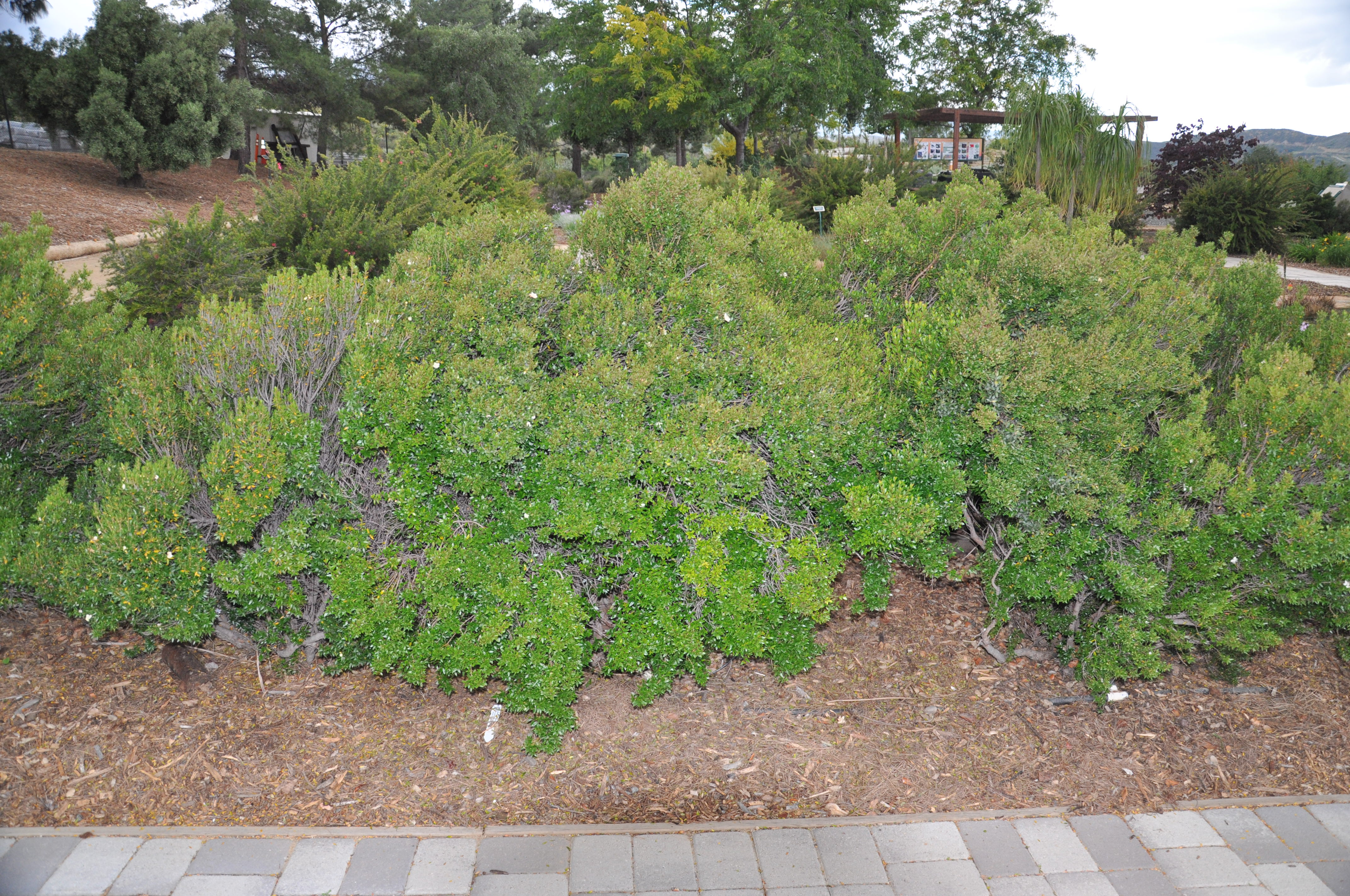 Garden Bush: Baccharis Pilularis