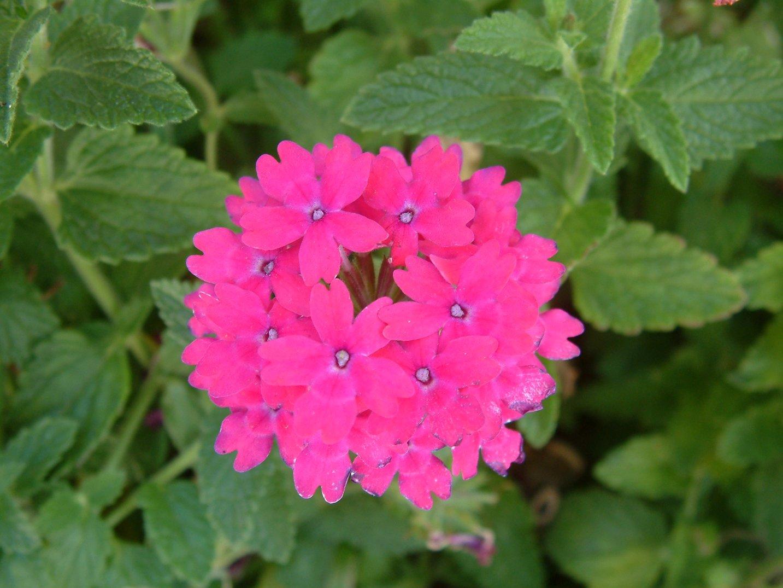 verbena peruviana cv