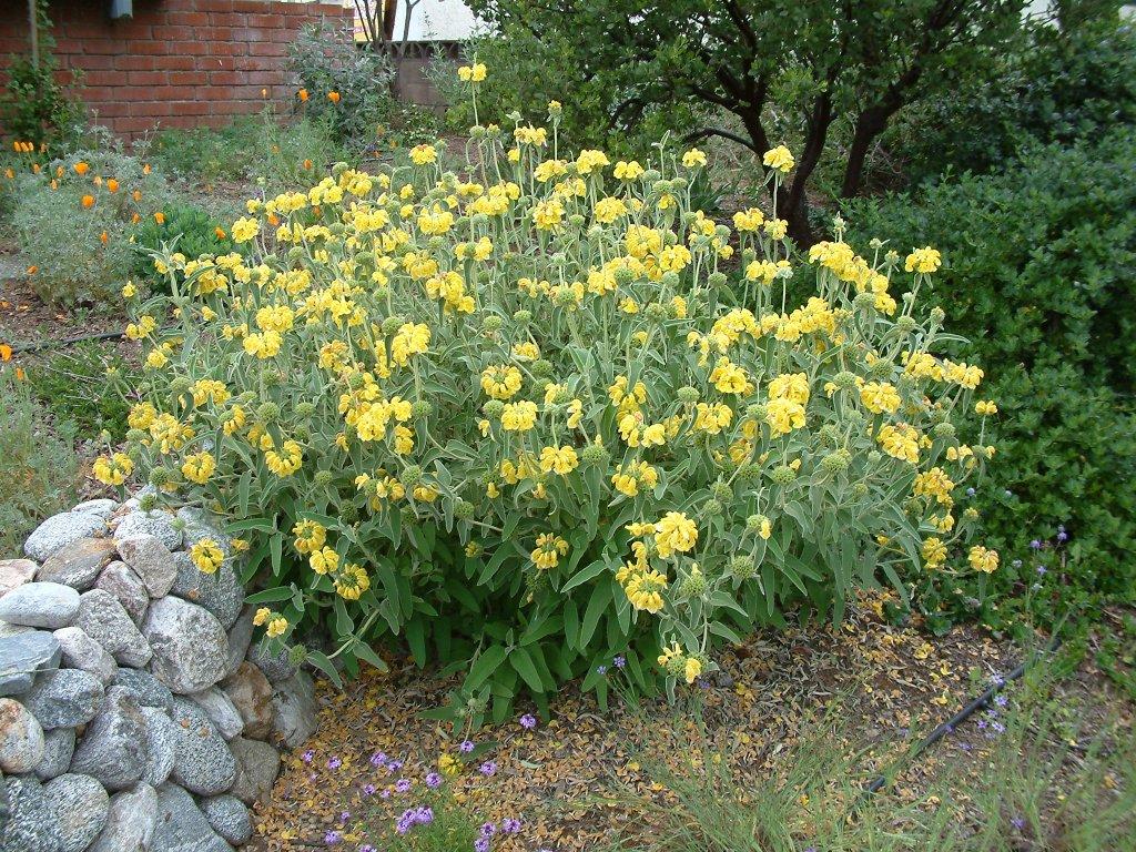 Garden Bush: Phlomis Fruticosa