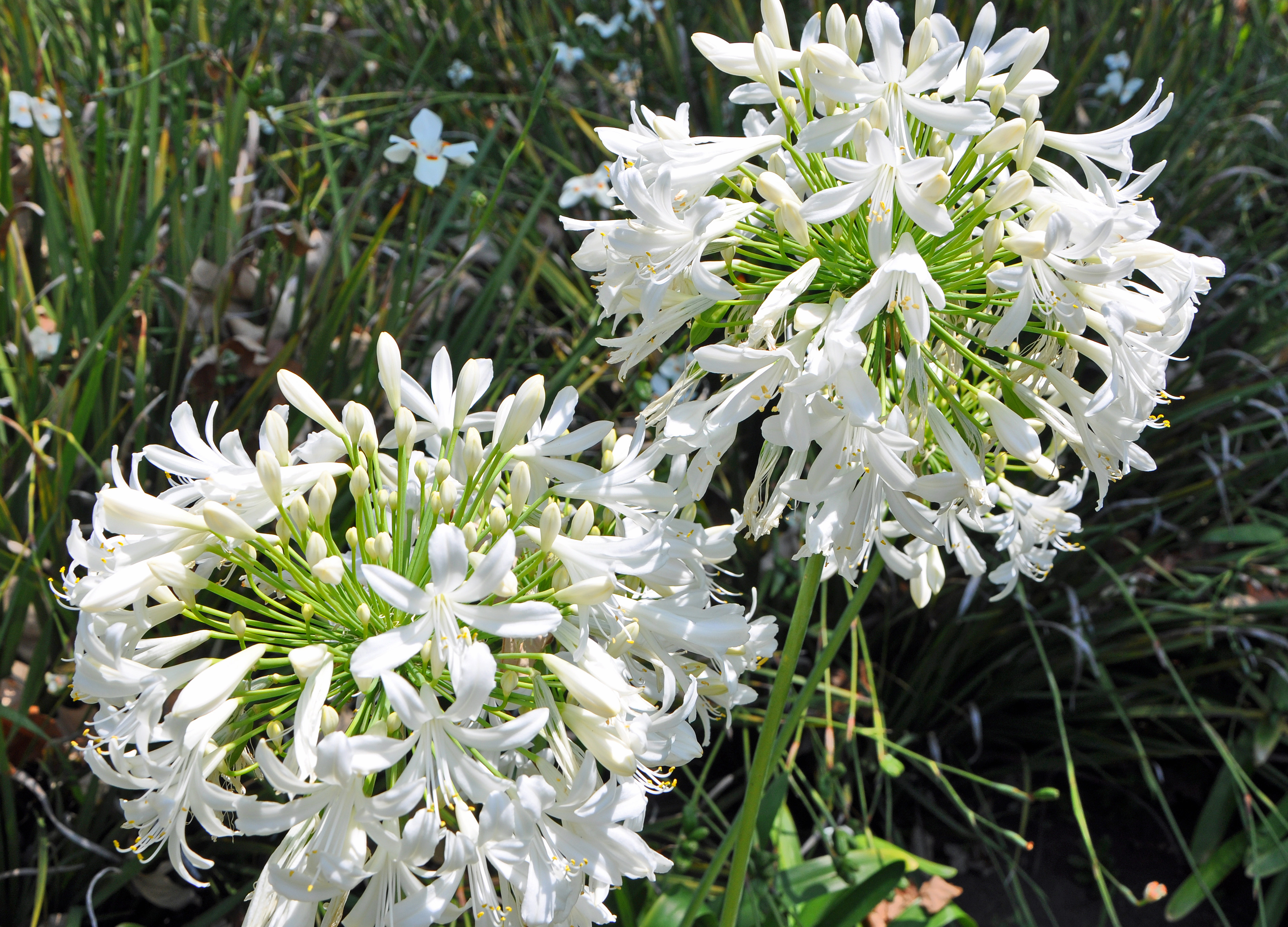 Picture of Live Lily of the Nile aka Agapanthus 'Rancho White' Shrubs Plant Fit 1 Gallon Pot