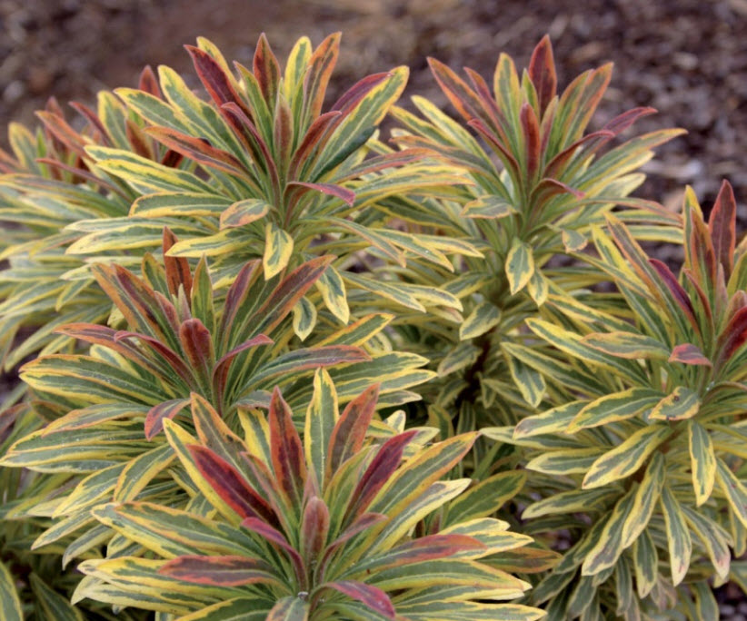 Picture of Live Spurge aka Euphorbia x 'Ascot Rainbow' Plant Fit 1 Gallon Pot