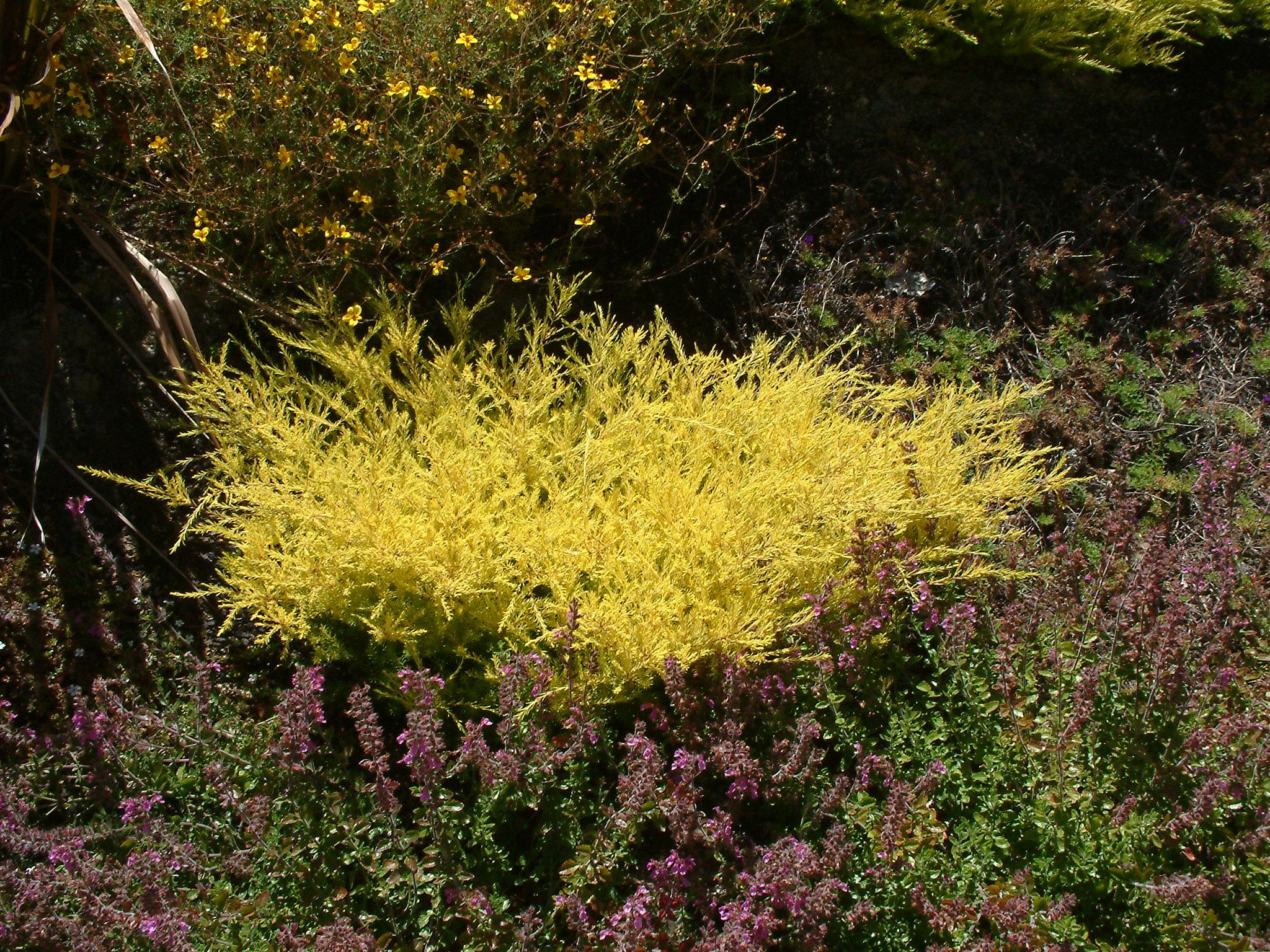 Coleonema pulchrum sunset gold - Coleonema Pulchellum Sunset Gold Golden Breath Of Heaven