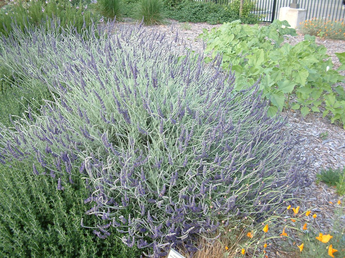 Picture of Live Goodwin Creek Gray Lavender aka Lavandula x. 'Goodwin Creek' Prennial Plant Fit 1 Gallon Pot