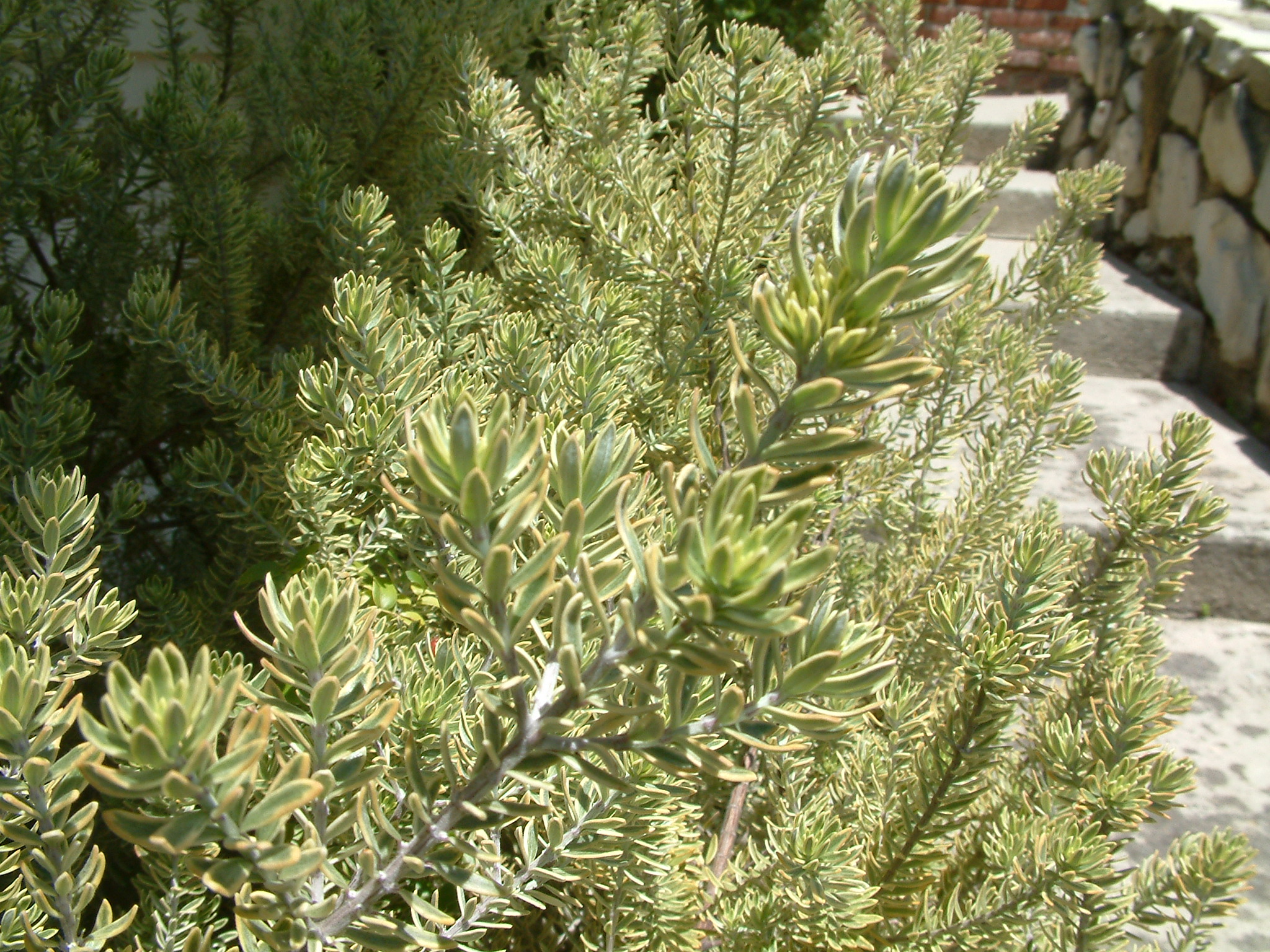 Picture of Live Morning Light Westringia aka Westringia f. 'Morning Light' Shrubs Plant Fit 5 Gallon Pot