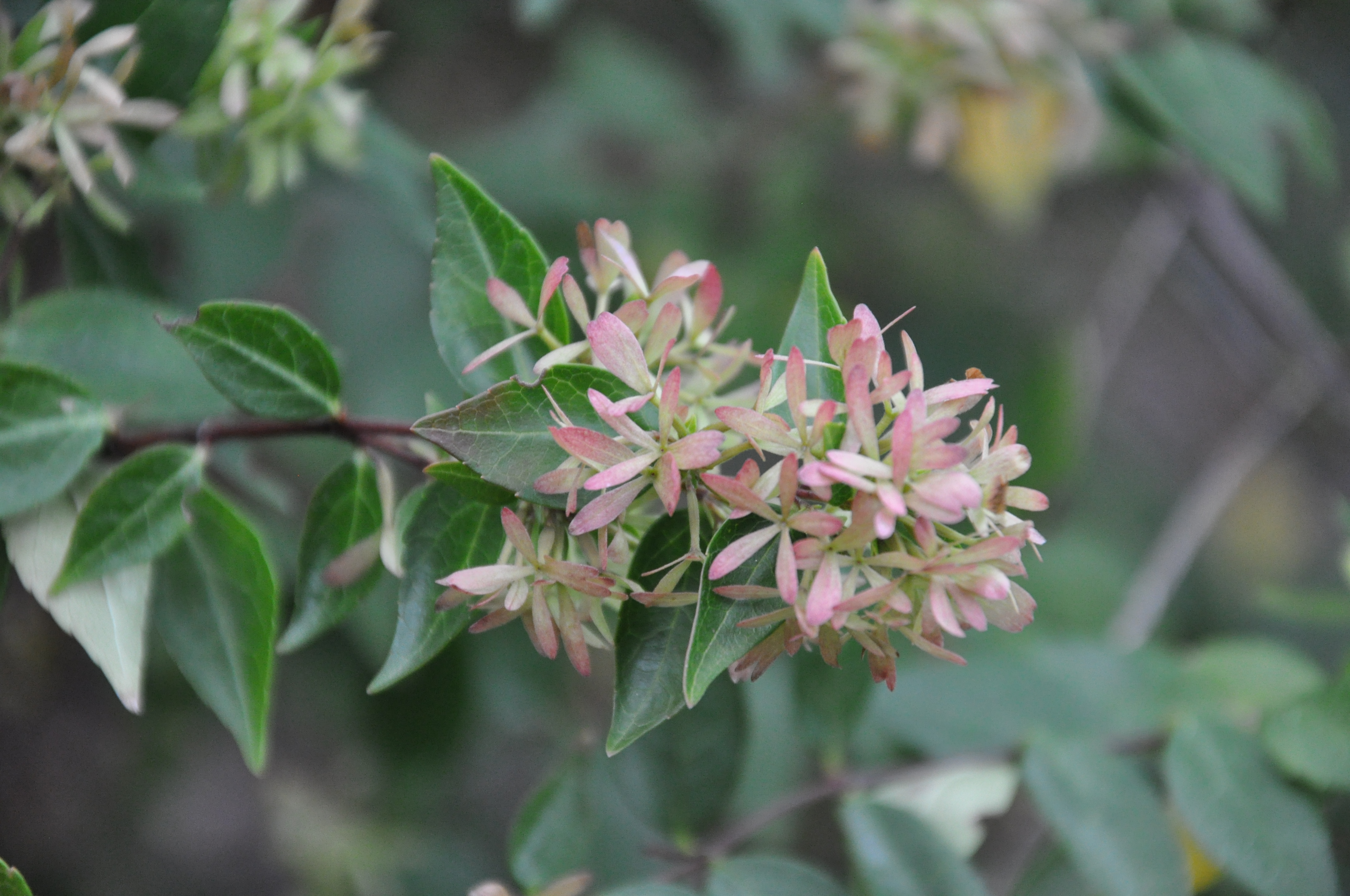 Abelia x grandiflora 39 edward goucher 39 for 24308