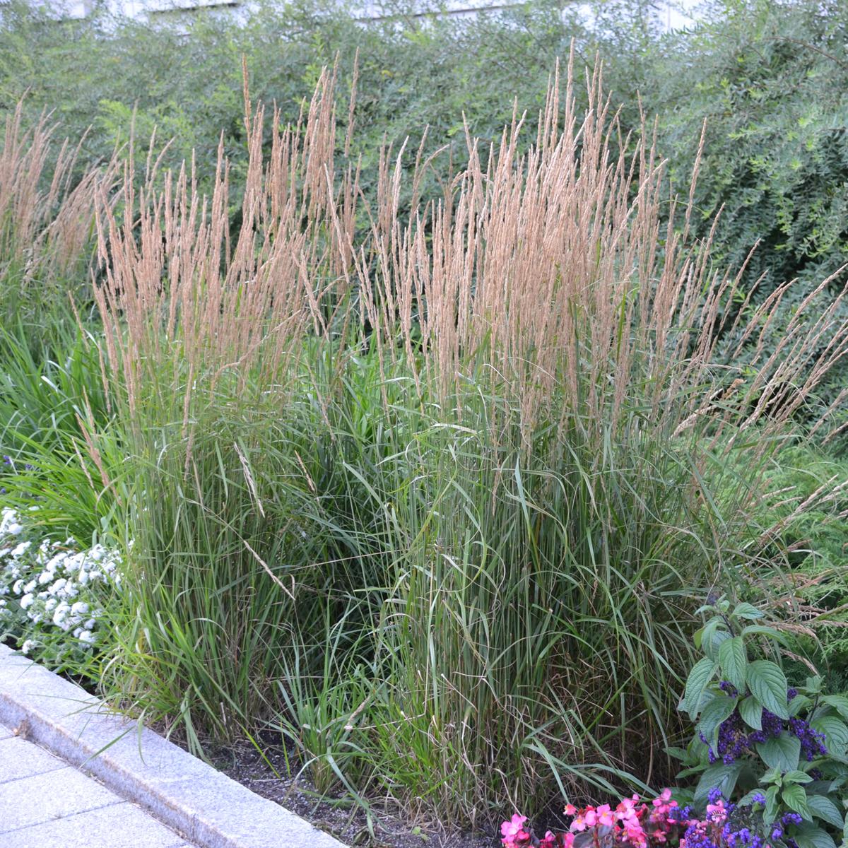 calamagrostis x acu 39 karl foerster 39. Black Bedroom Furniture Sets. Home Design Ideas