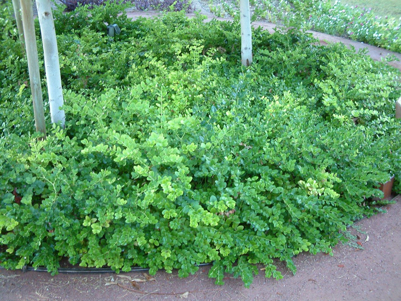 Green Carpet Natal Plum Plant Carpet Vidalondon