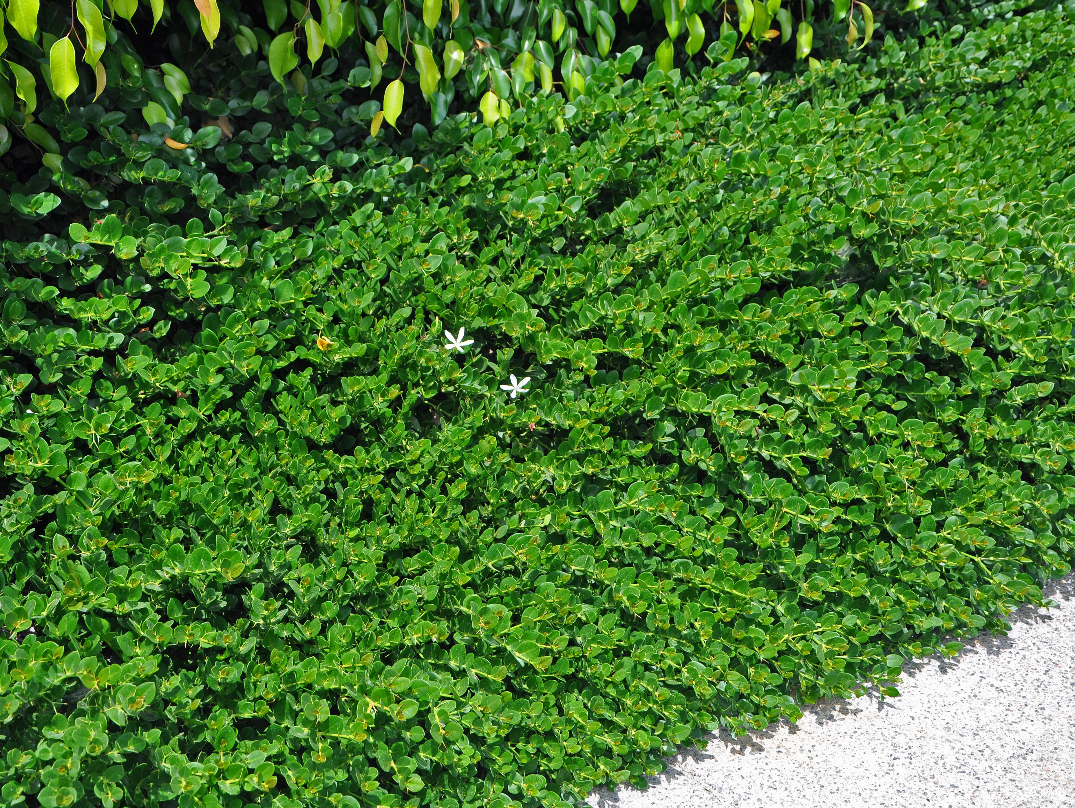 Garden Bush: Carissa Macrocarpa 'Tuttle
