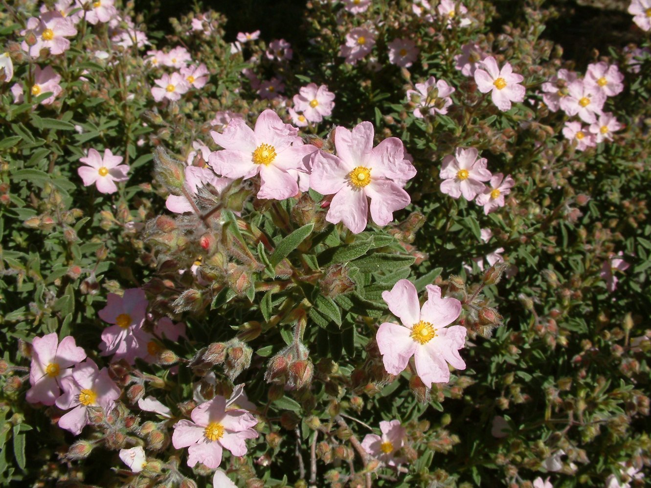 Picture of Live Dwarf Pink Rockrose aka Cistus x skanbergii Shrubs Plant Fit 1 Gallon Pot