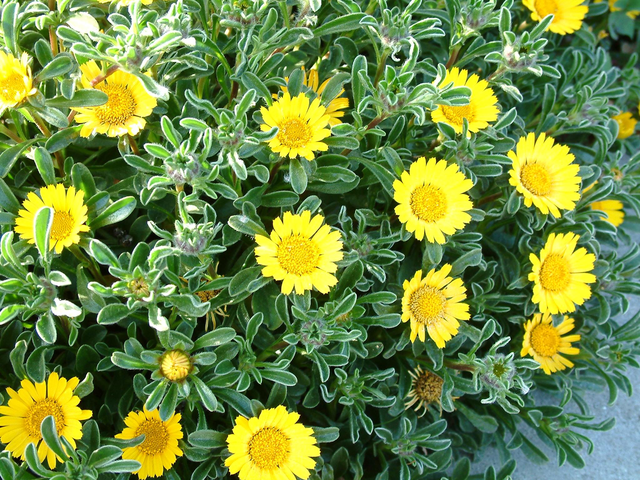 Picture of Live Trailing Yellow Gazania aka Gazania 'Mitsuya Yellow' Perennial Plant Fit 1 Gallon Pot