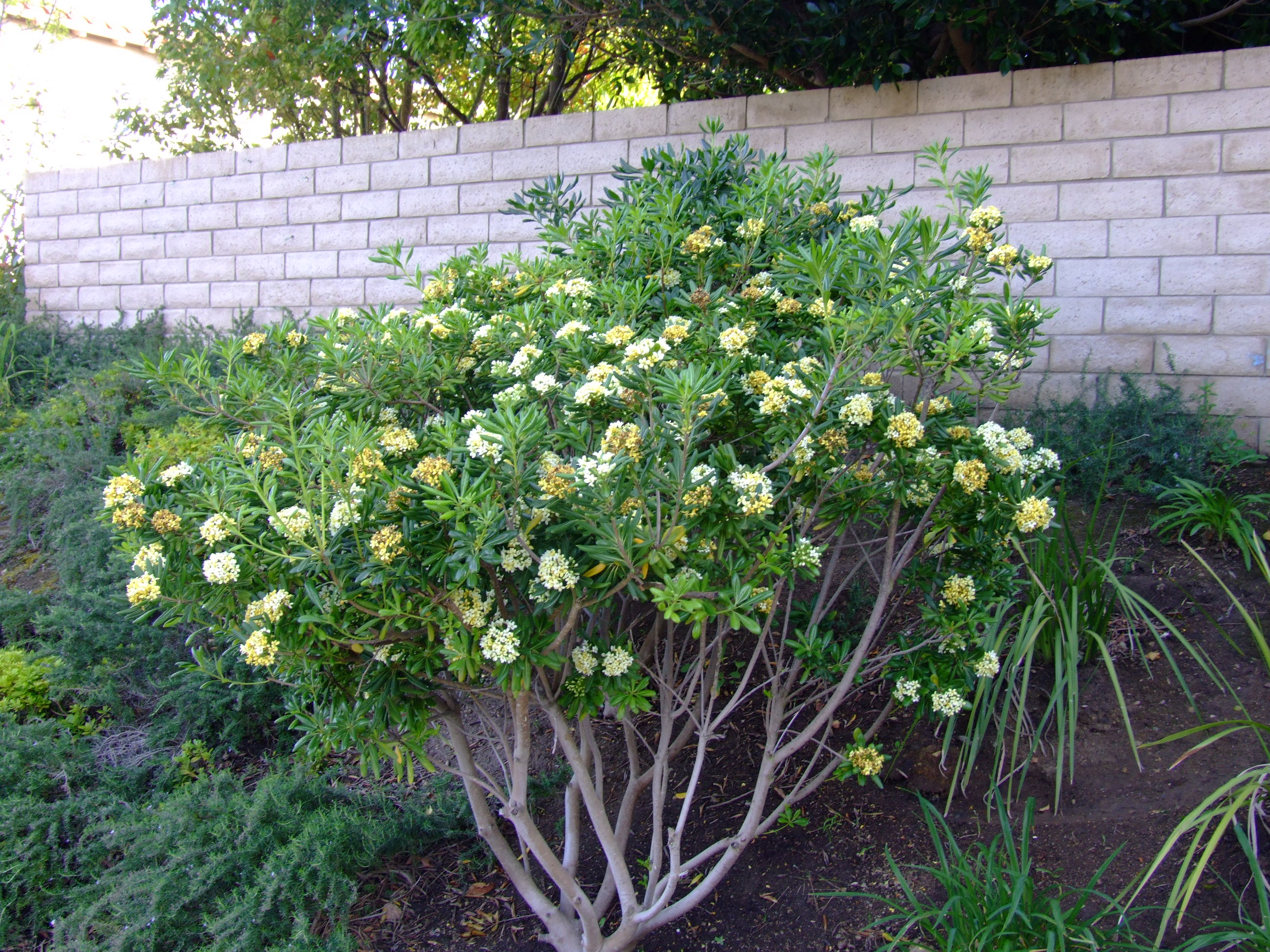 Picture of Live Japanese Mock Orange, Mock Orange, Tobira, Japanese Pittosporum aka Pittosporum tobira Plant Fit 5 Gallon Pot