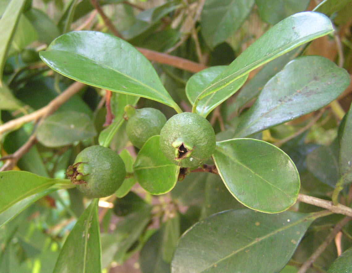 Average Interest Rate >> Psidium cattleianum