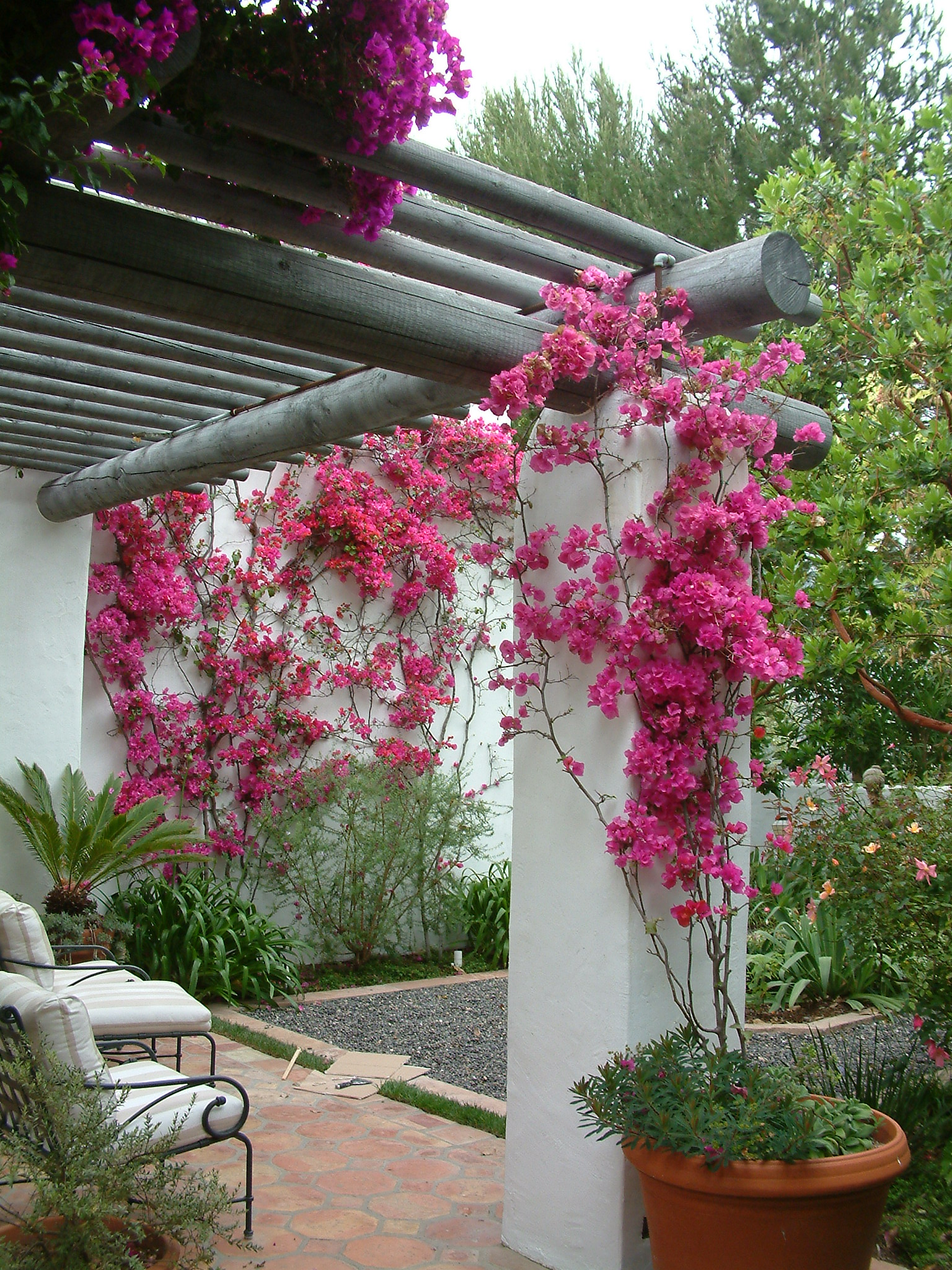 Bougainvillea Cvs