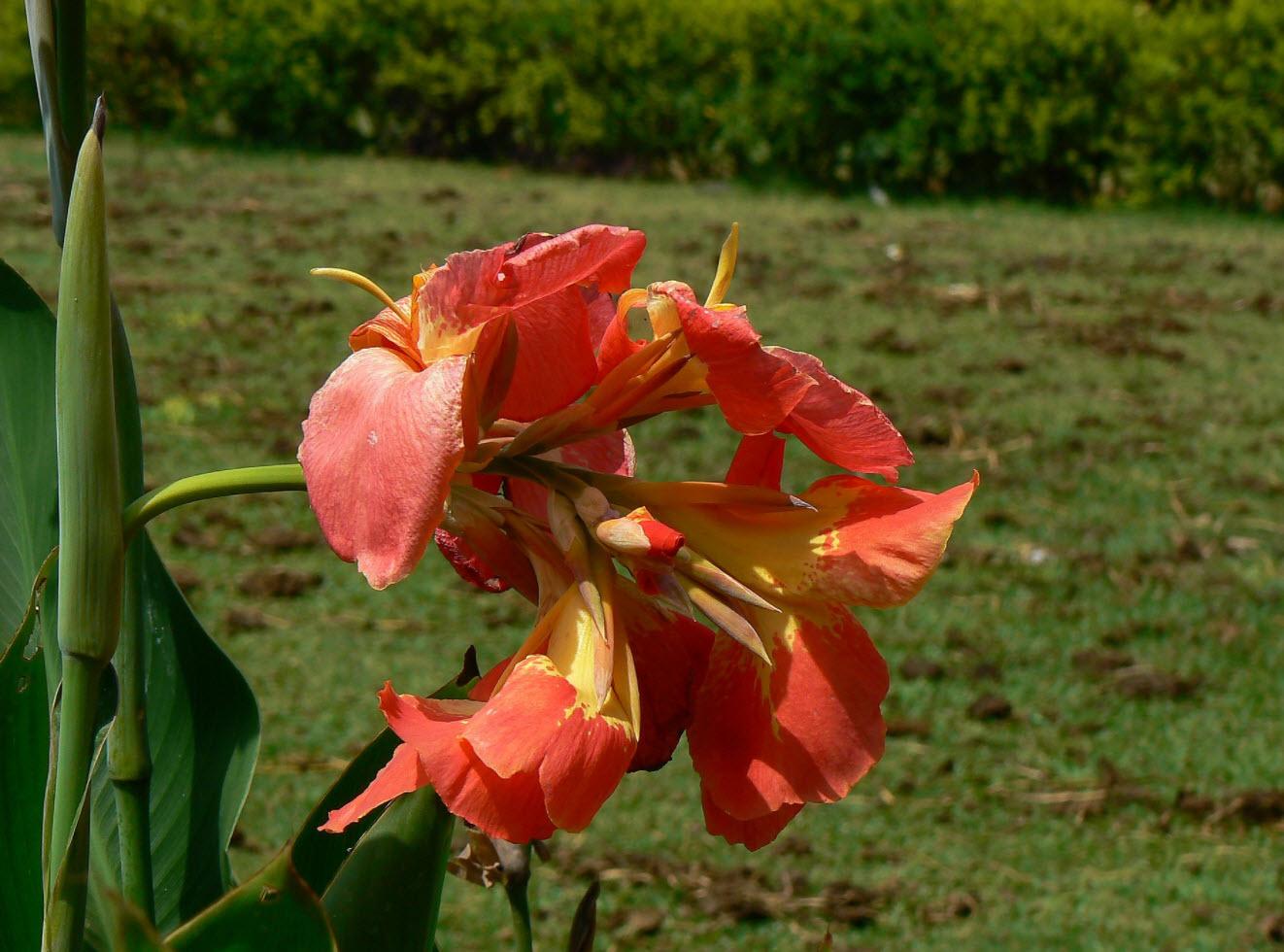 Цветы канны выращивание и фото