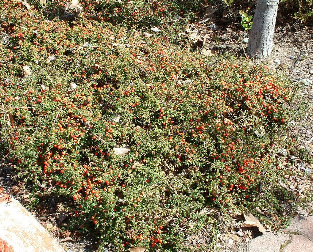 Picture of Live Bearberry Cotoneaster aka Cotoneaster dam. 'Lowfast' Plant Fit 1 Gallon Pot