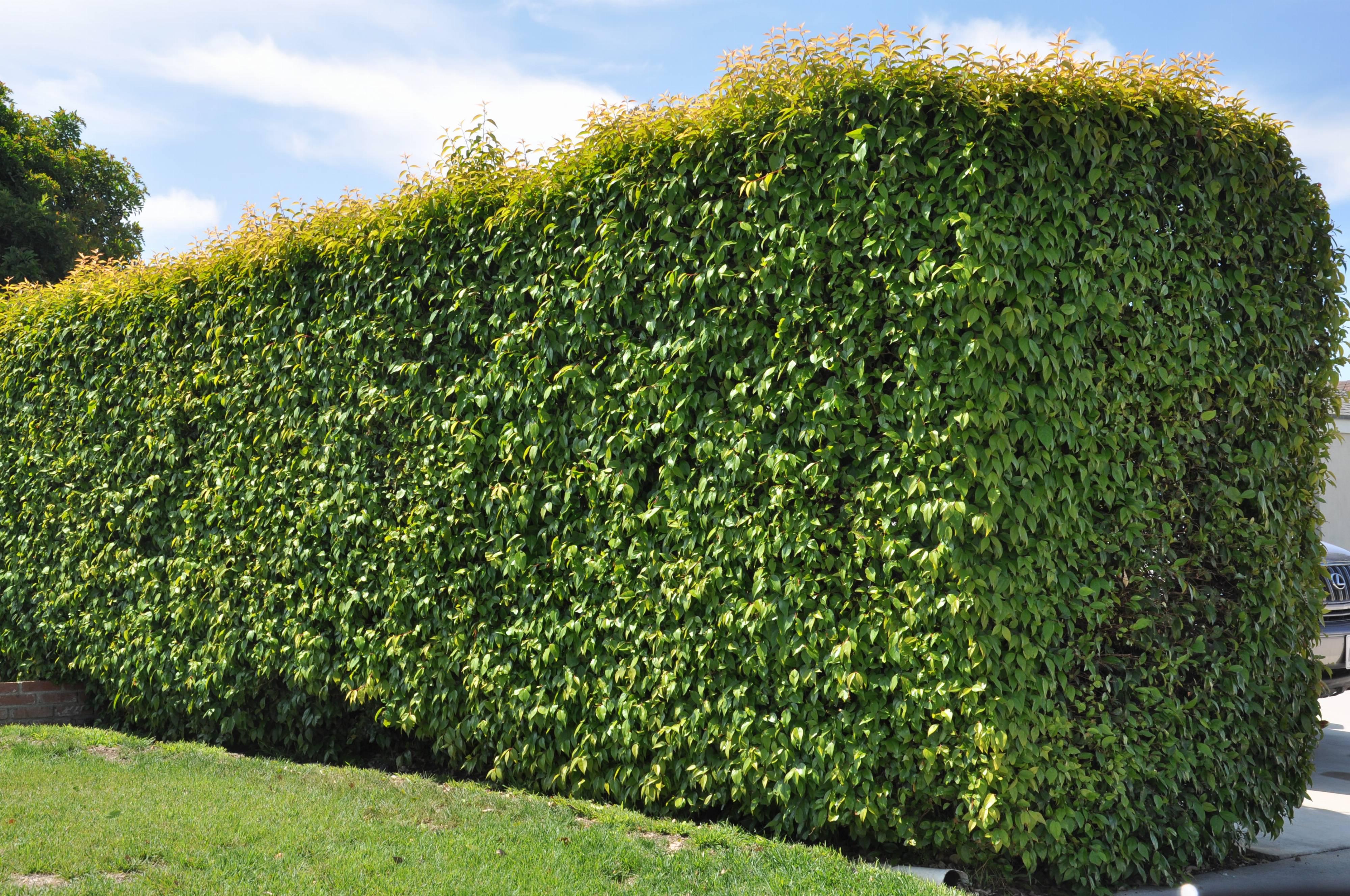 Garden Bush: Ficus Benjamina