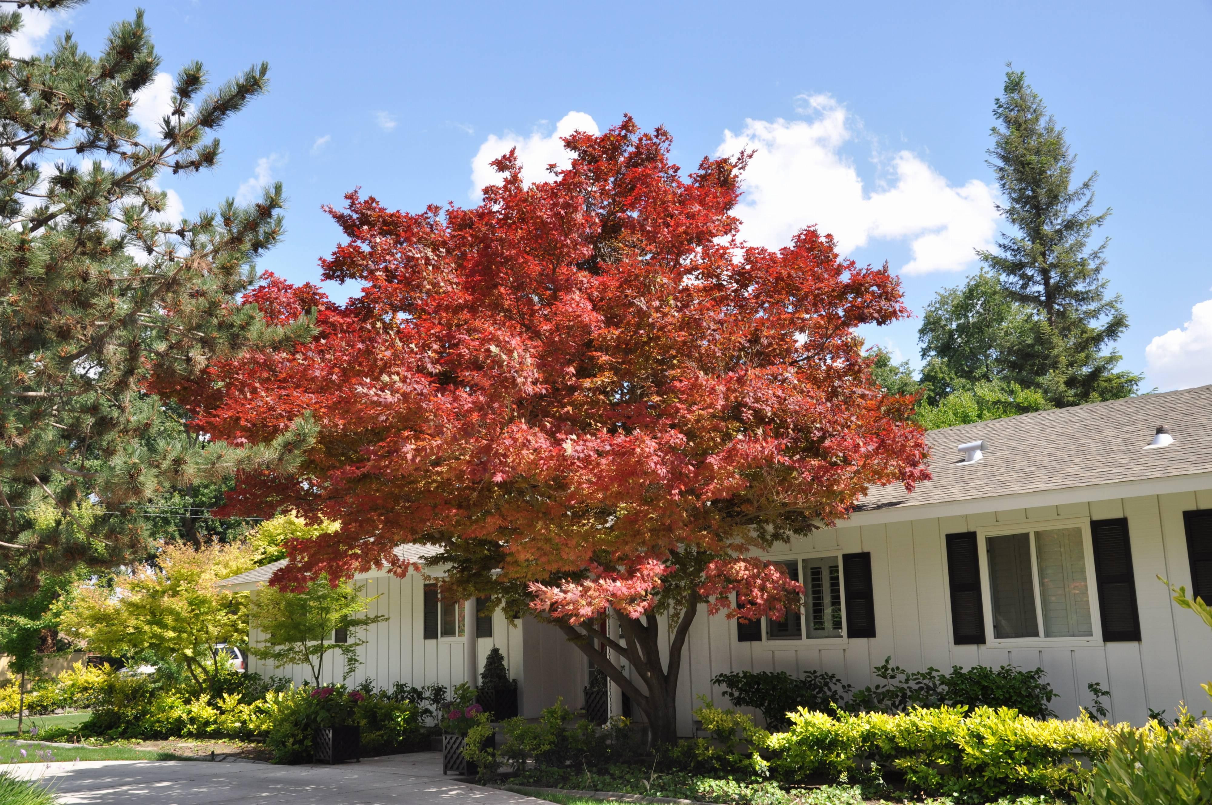 Acer Autumn Blaze Garden Design Ideas