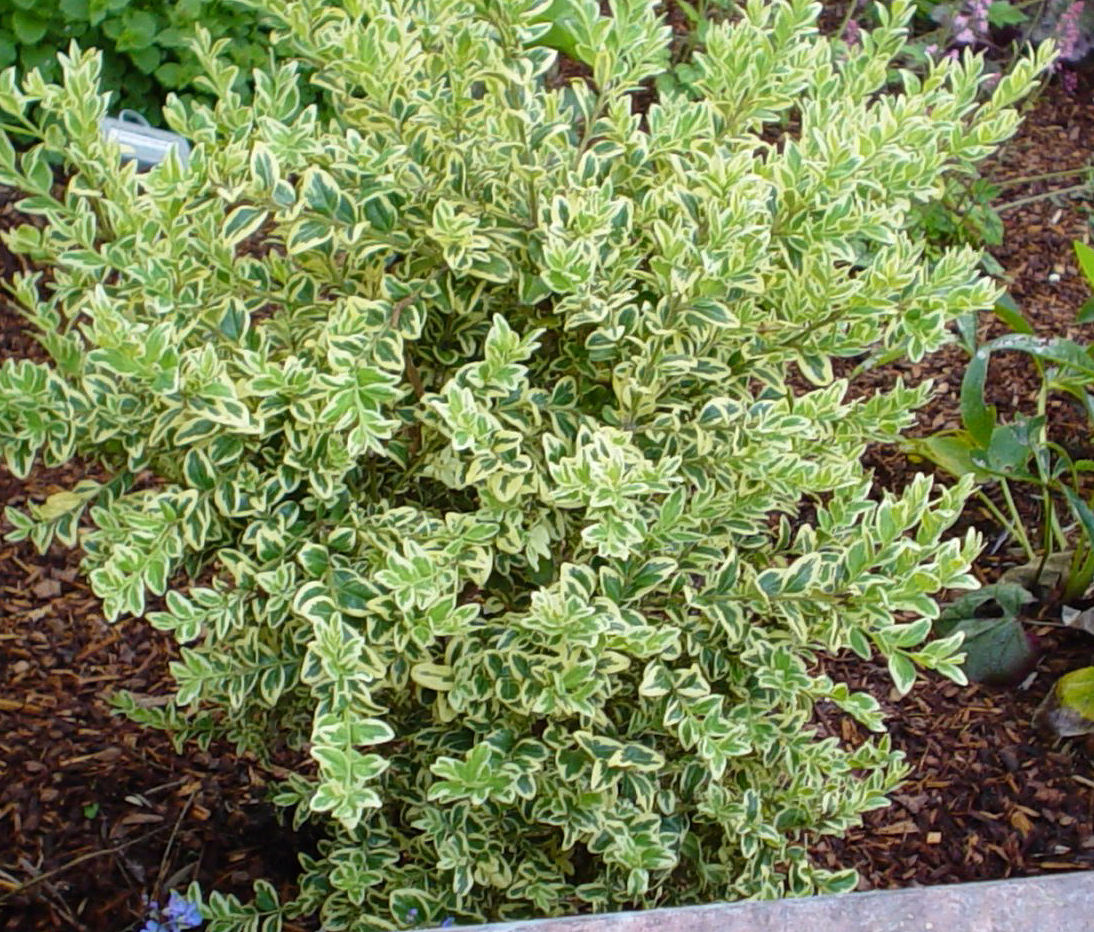 Picture of Live Variegated Boxwood aka Buxus semp. 'Variegated' Plant Fit 5 Gallon Pot