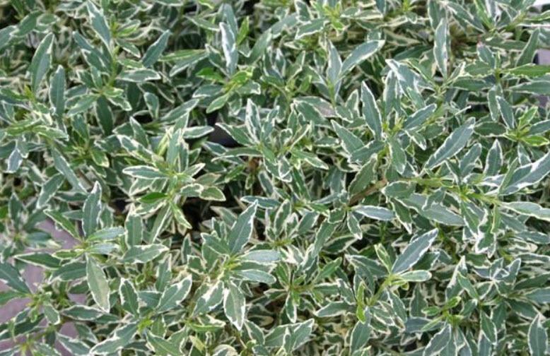 Gardenia Jasminoides Radicans Variegata