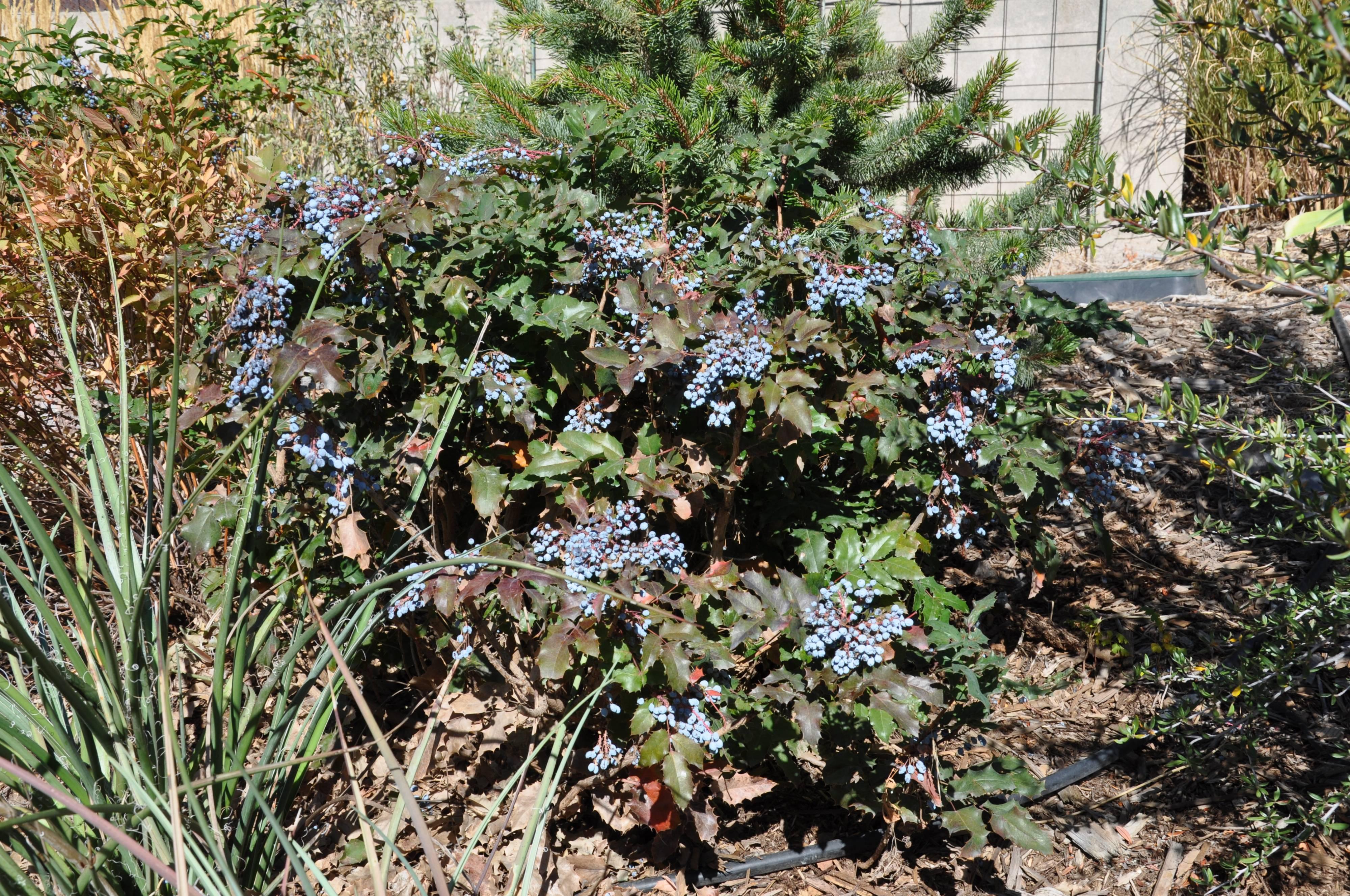 Mahonia Aquifolium Compacta