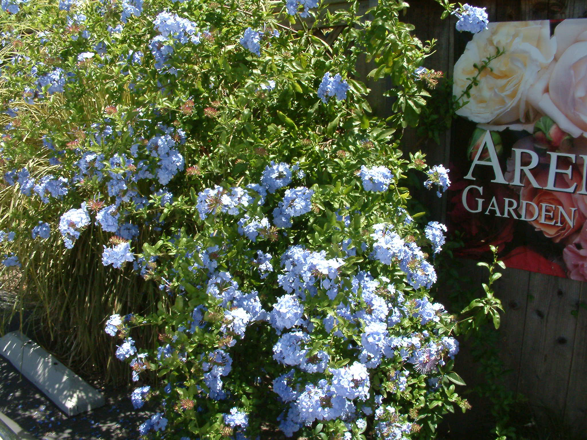 Picture of Live Cape Plumbago aka Plumbago a. 'Royal Cape' Shrubs Plant Fit 1 Gallon Pot