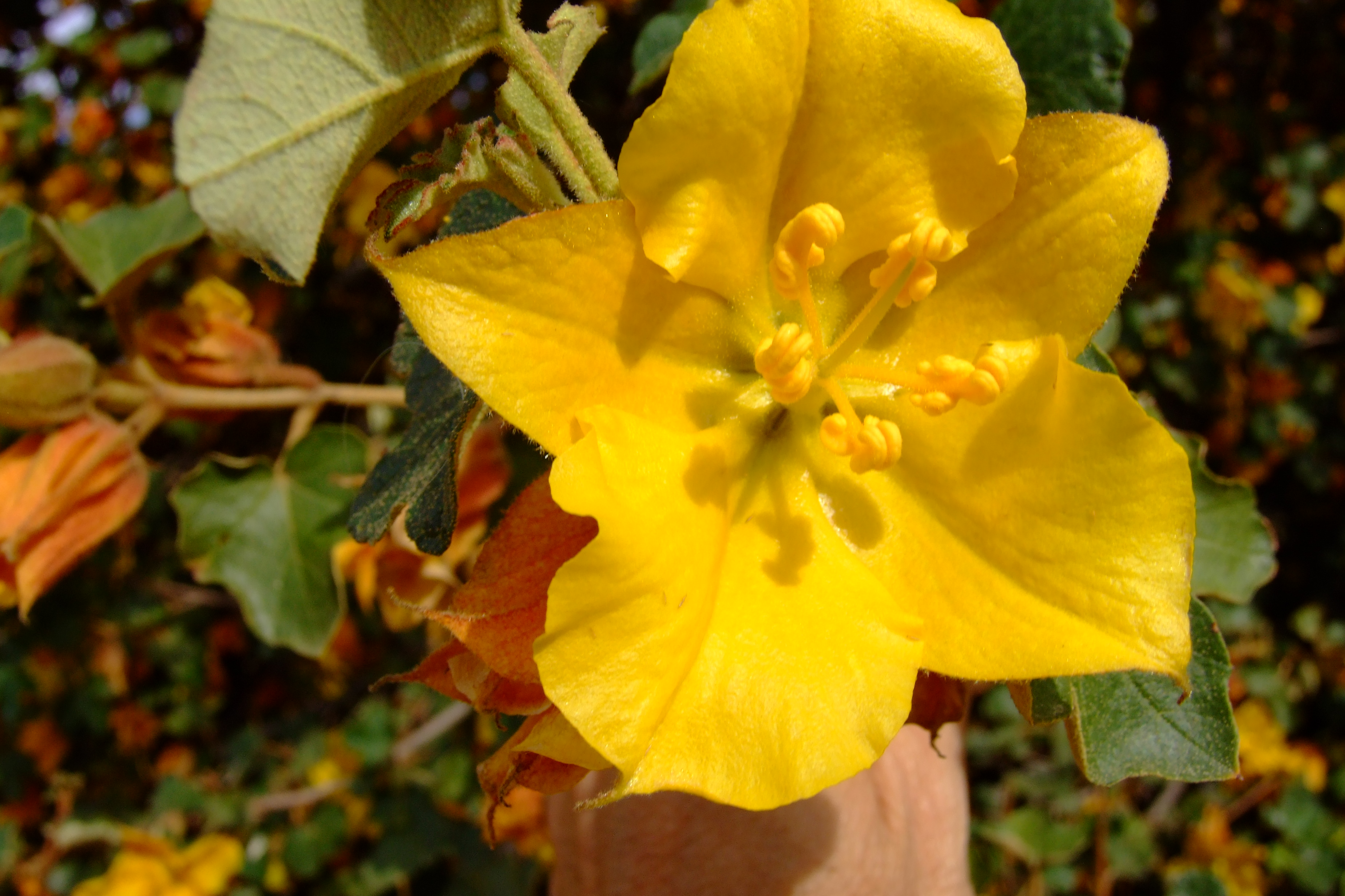 Garden Bush: Fremontodendron Californicum