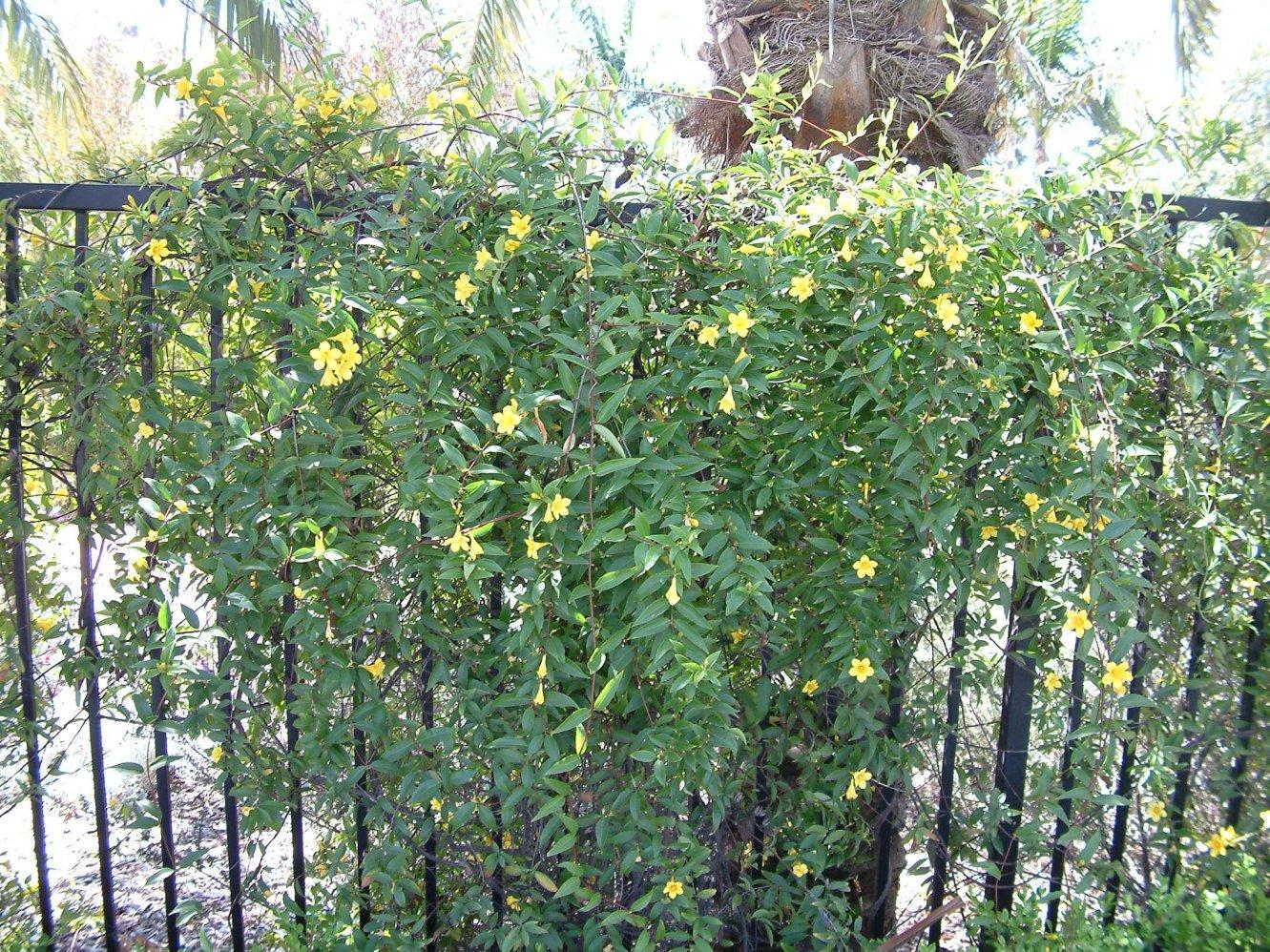 Picture of Live Carolina yellow jasmine aka Gelsemium semp. Espalier Plant Fit 5 Gallon Pot