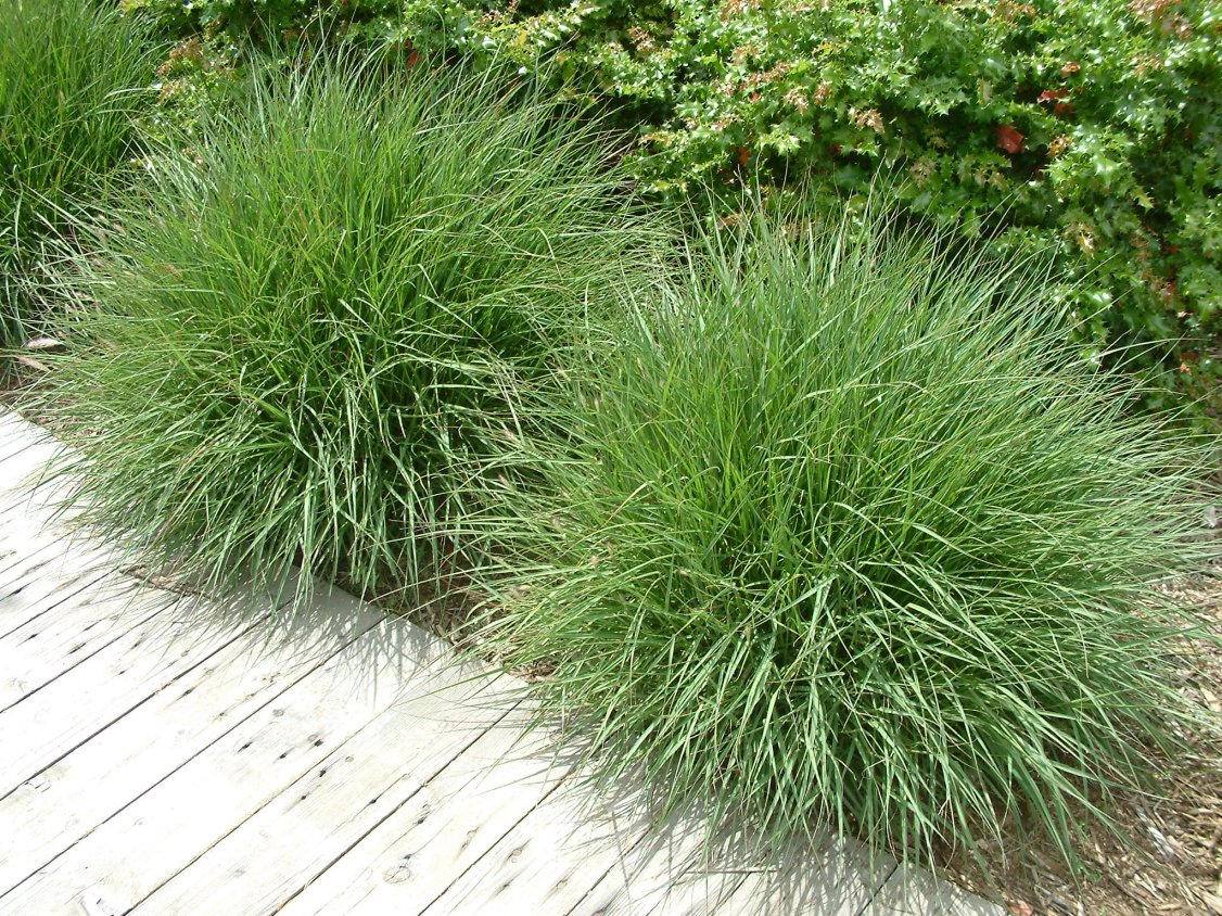 Pennisetum orientale for Fountain grass