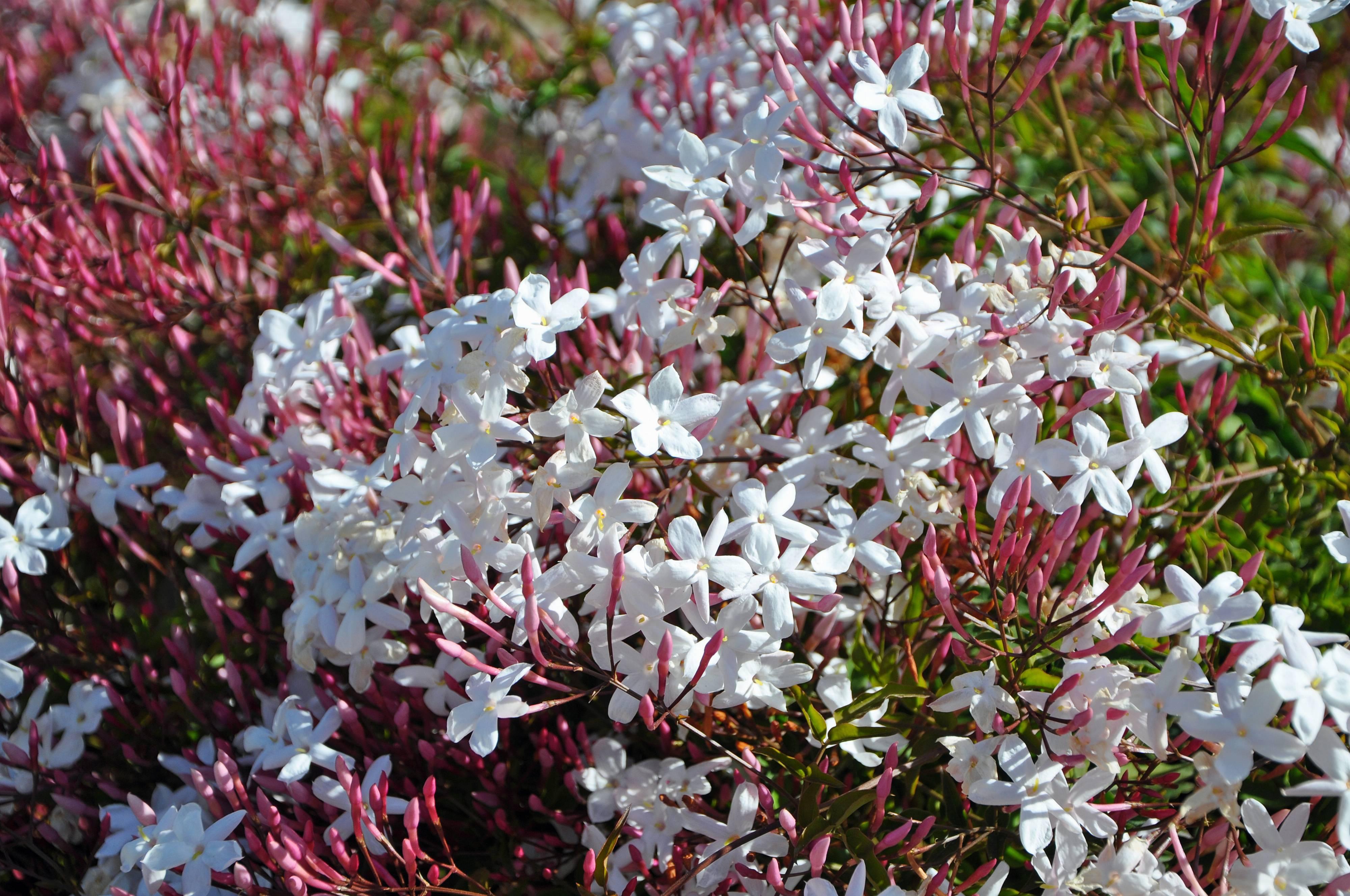 Garden Bush: Jasminum Polyanthum