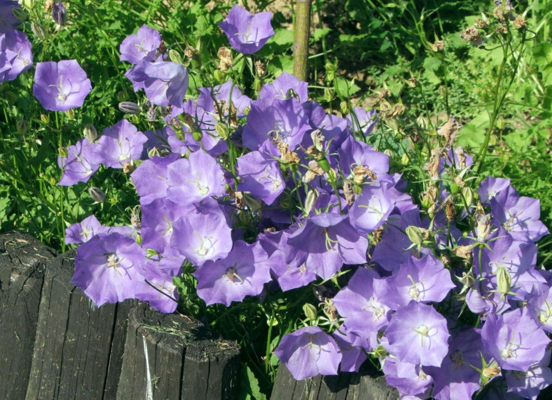 Тонкости выращивания колокольчика карпатского : посадка и уход