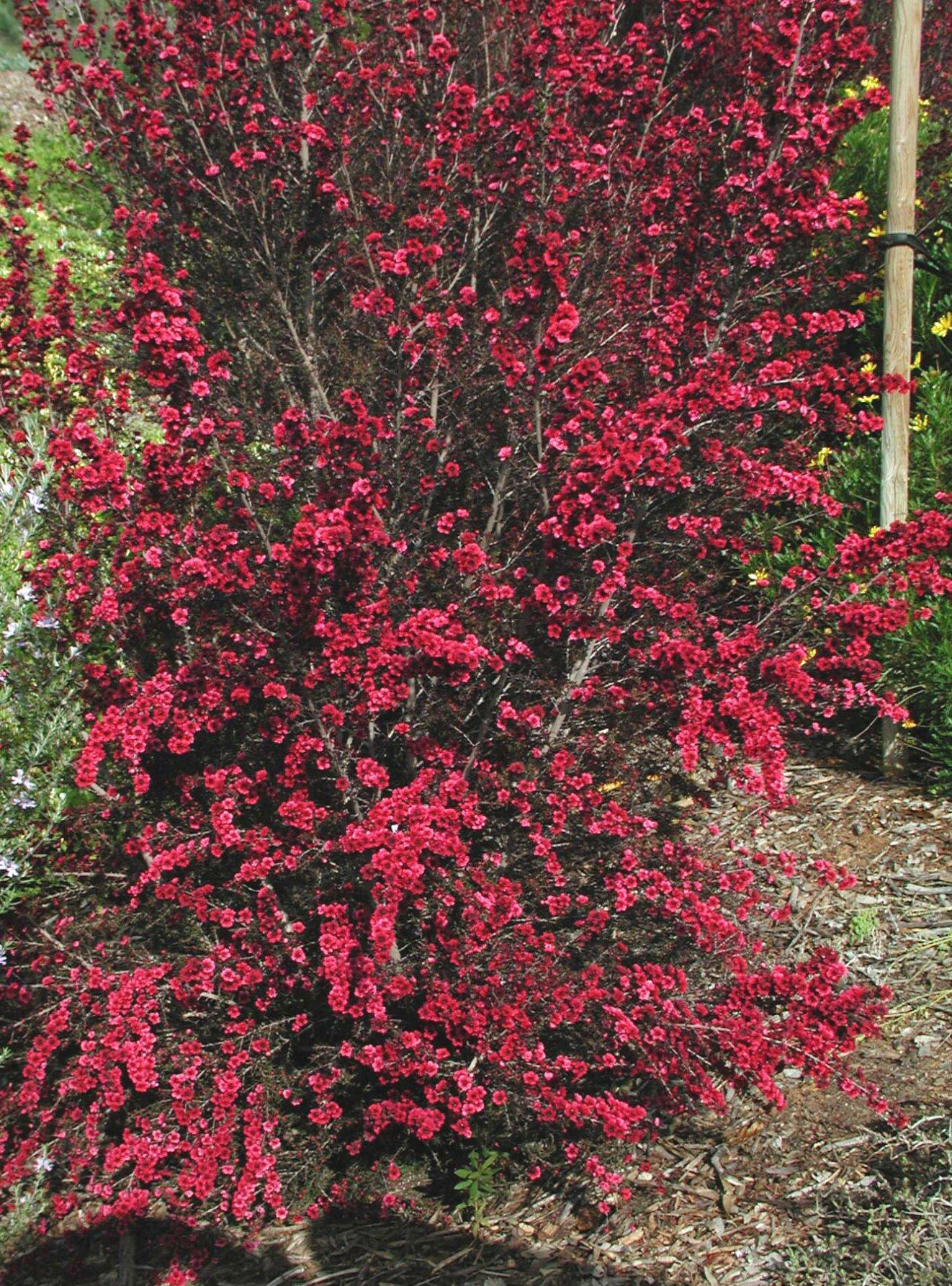 Garden Bush: Leptospermum Scoparium 'Ruby Glow