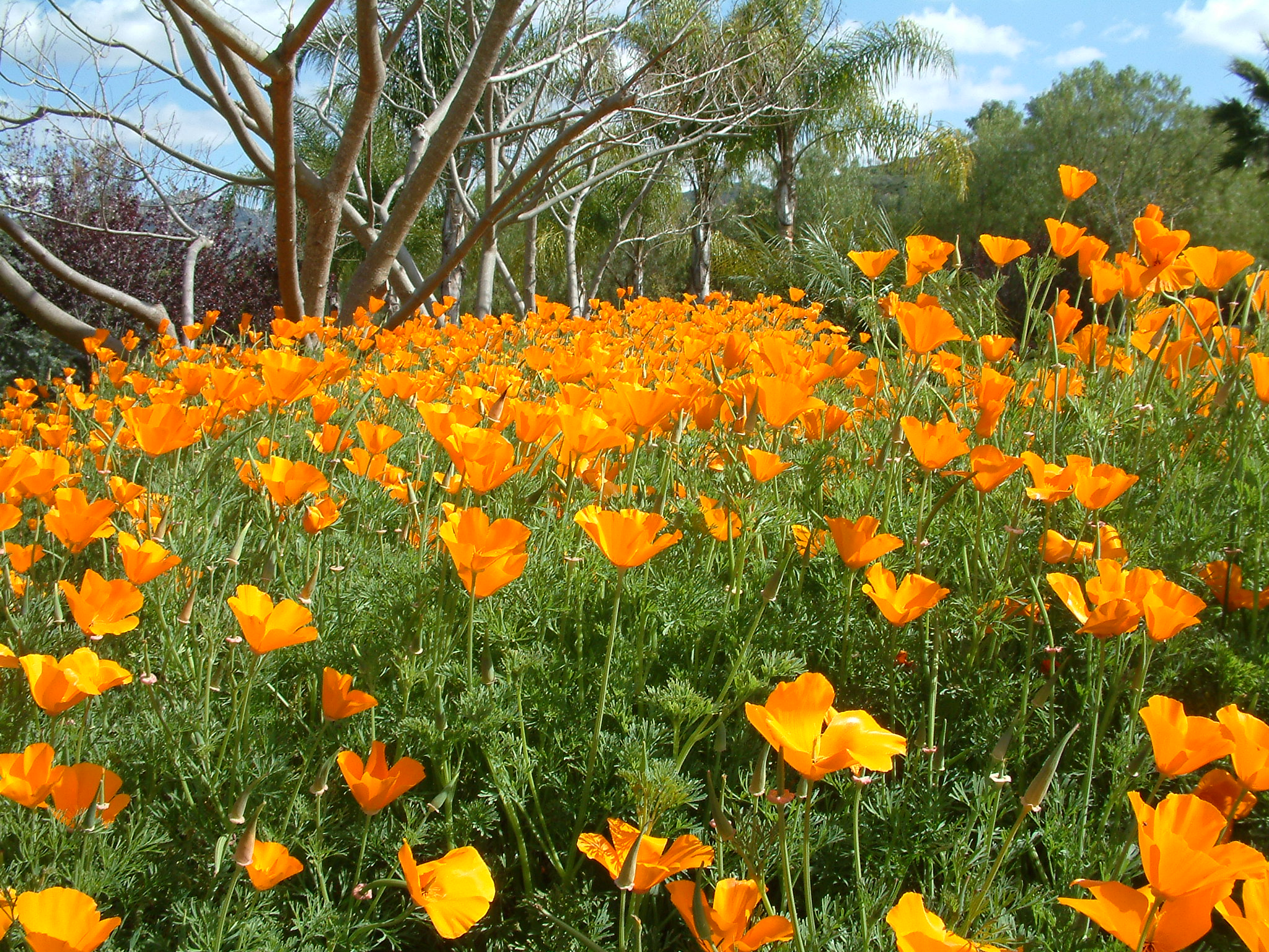 Eschscholzia californica for Planting a garden