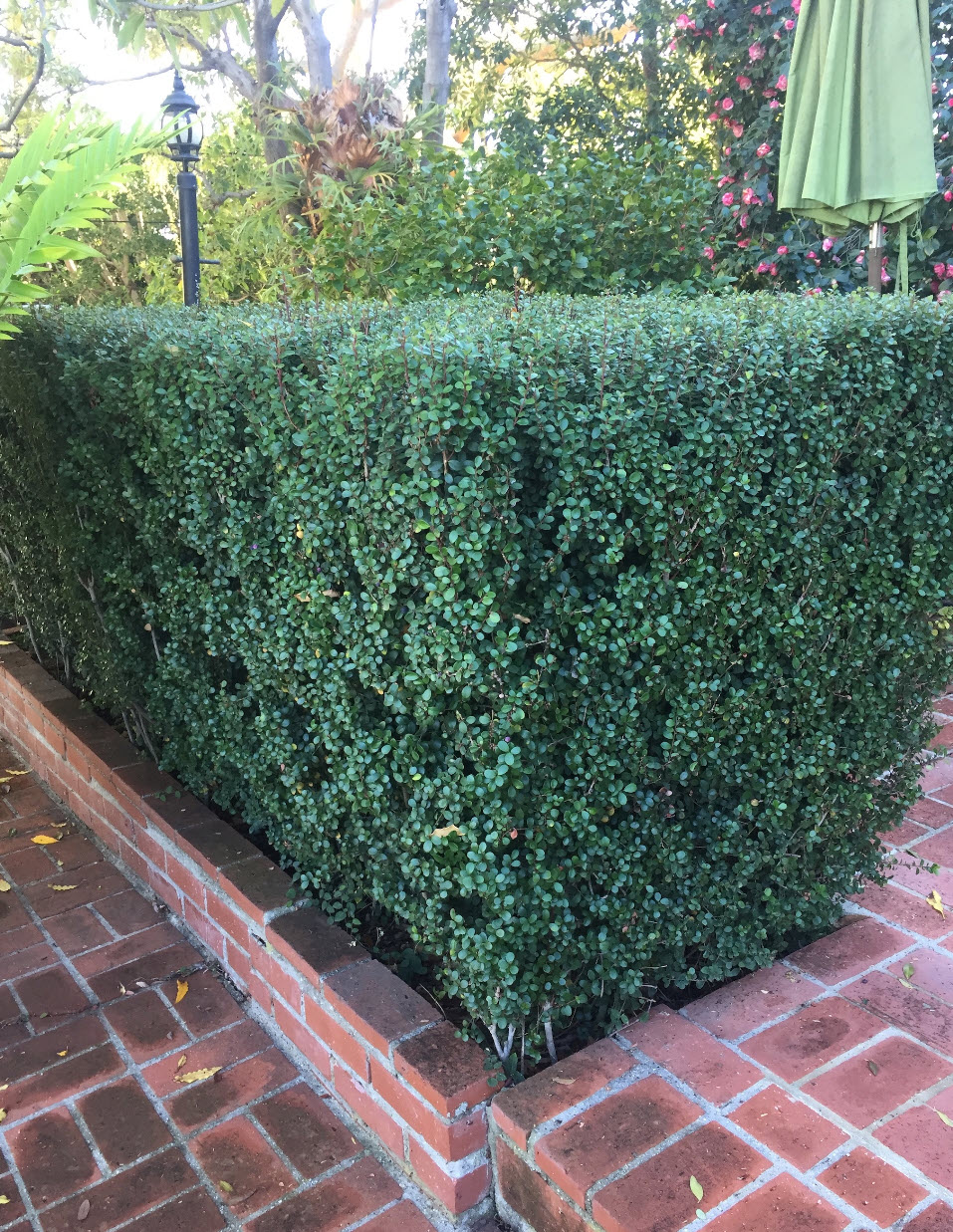 Picture of Live African Boxwood aka Myrsine africana Plant Fit 5 Gallon Pot
