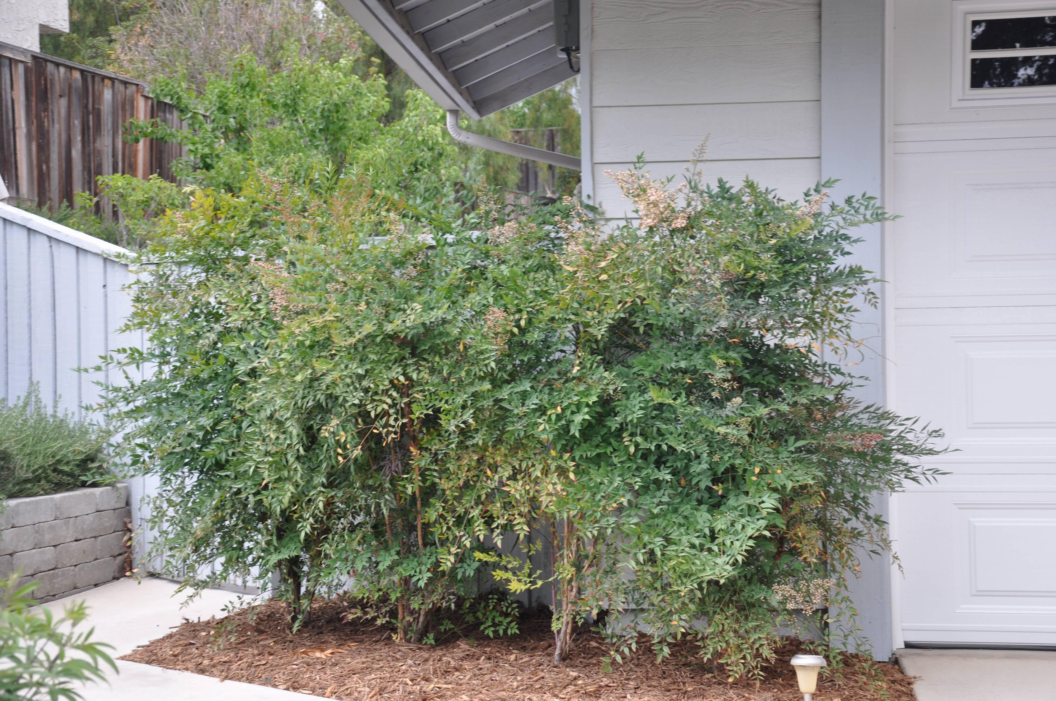 Nandina domestica for Garden shrubs
